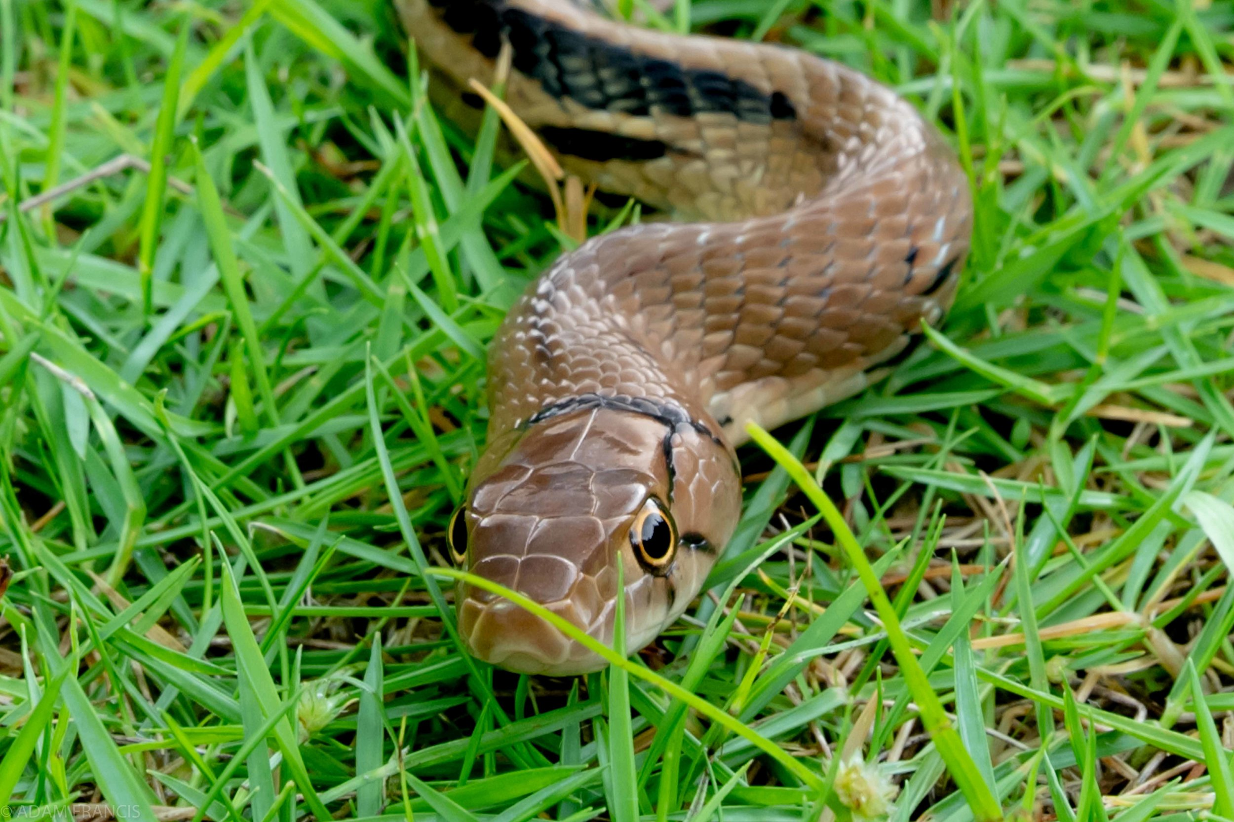 Copperhead Racer Coelognathus radiatus  (1 of 10).jpg