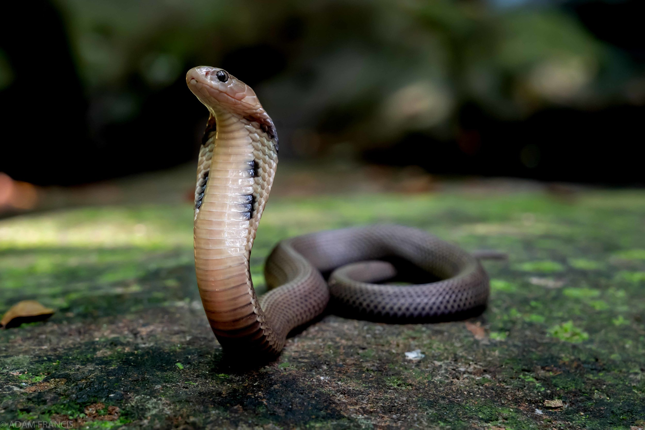 Copy of Chinese Cobra - Juvenile Grey Color Morph