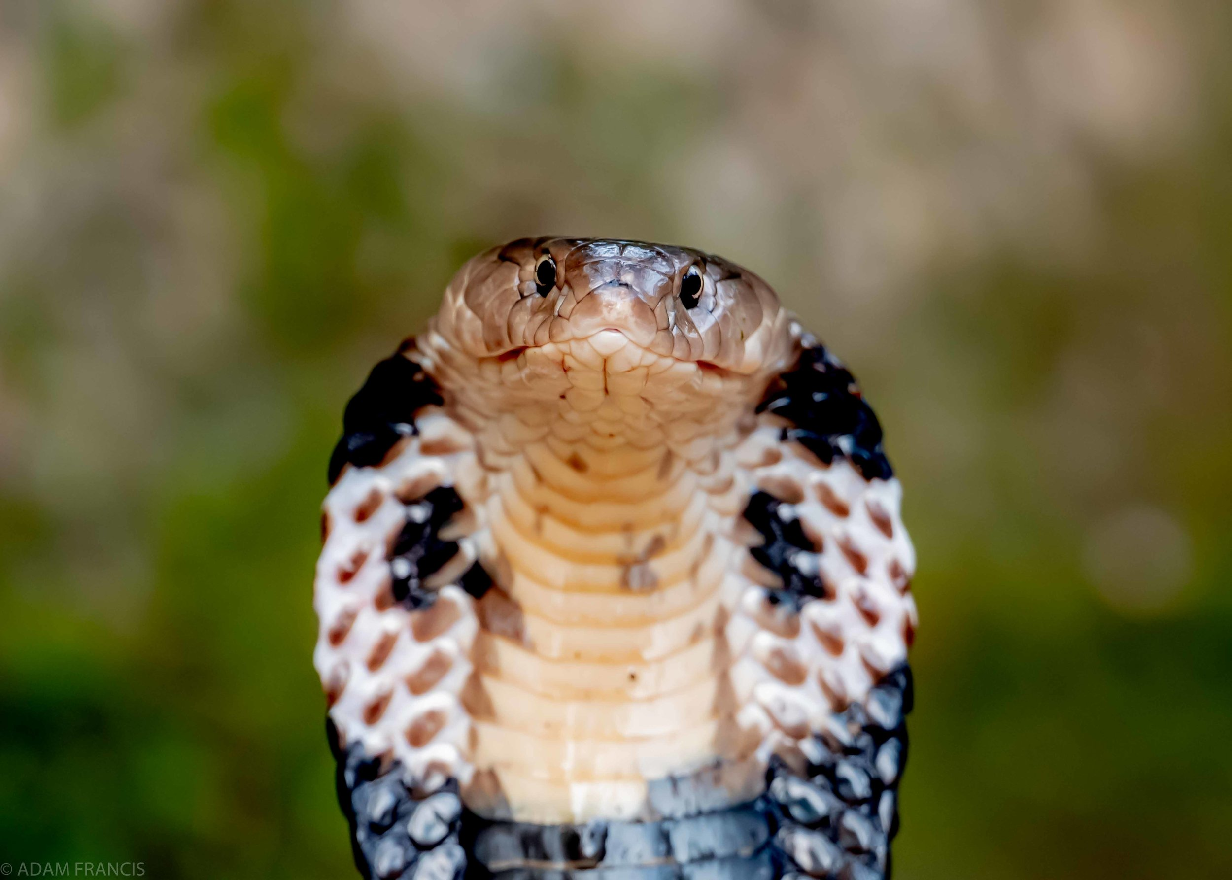 Copy of Chinese Cobra