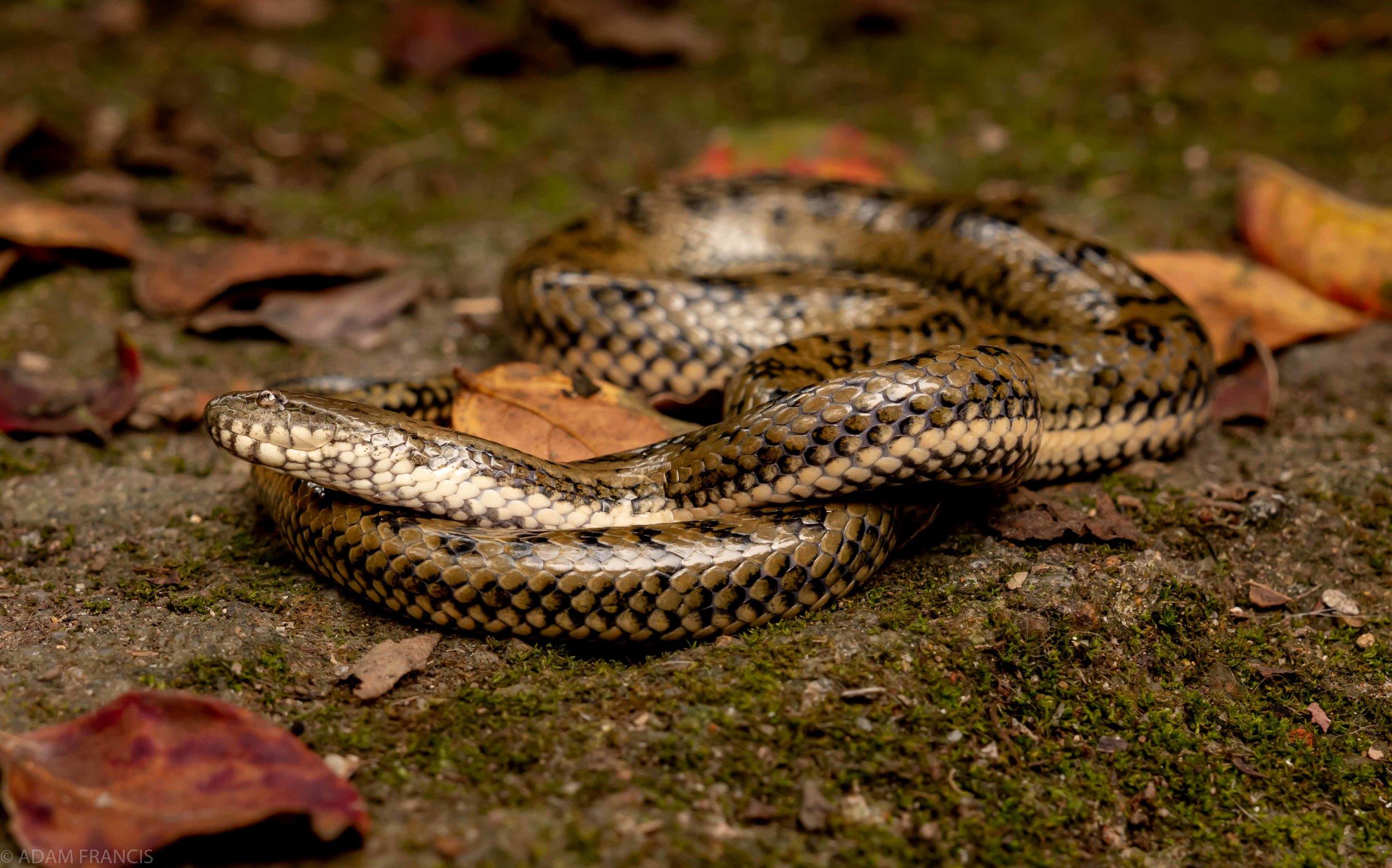Copy of Mangrove Water Snake
