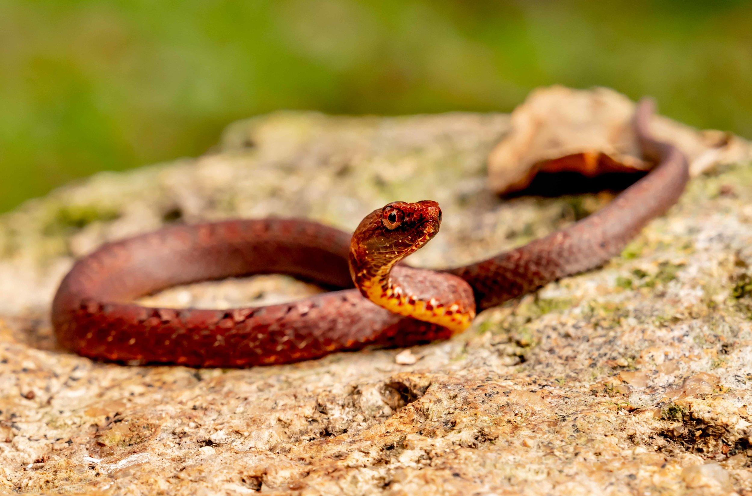 Copy of Mock Viper - Juvenile