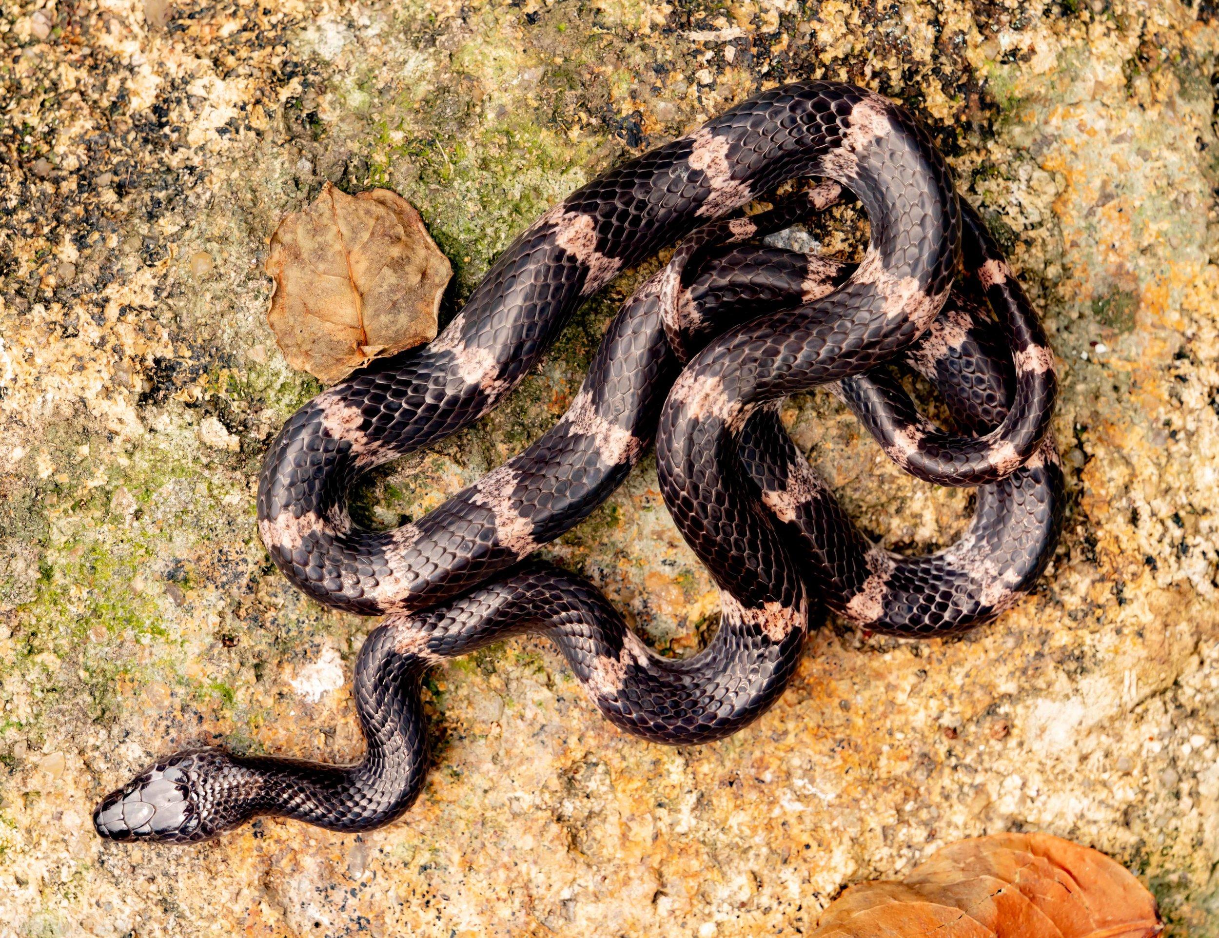 福清白環蛇