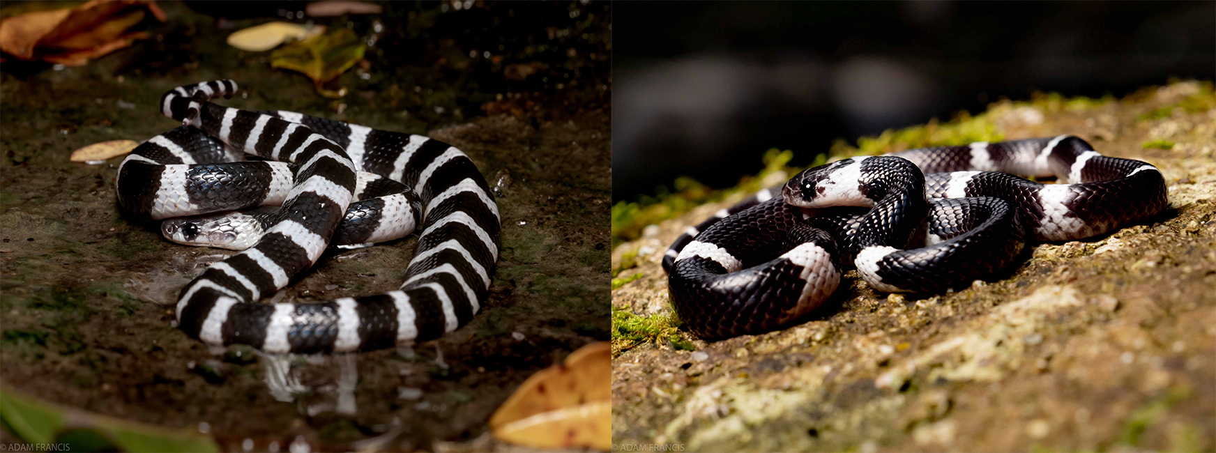 MANY BANDED KRAIT  LEFT  BANDED WOLF SNAKE  RIGHT
