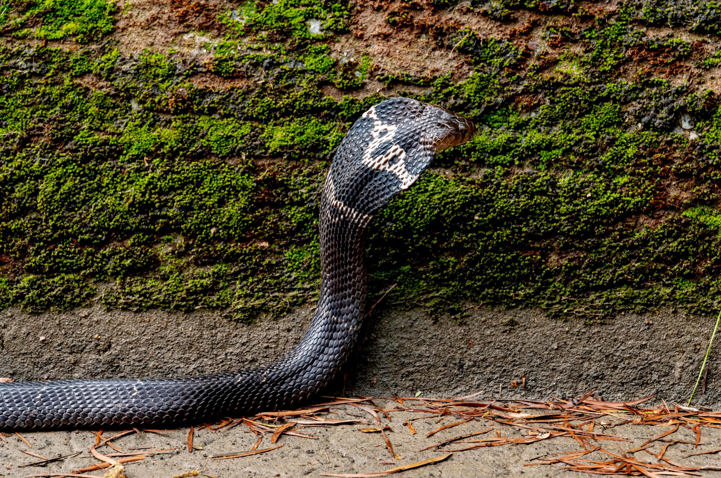 Chinese Cobra  with Monocle Markings Across the Hood