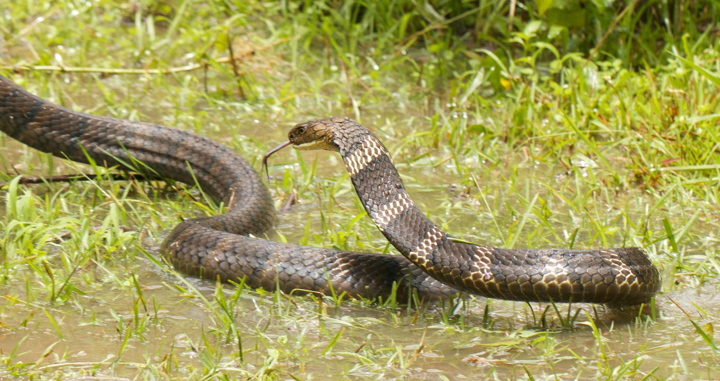 Mature King Cobra  ~3+ Meters Long