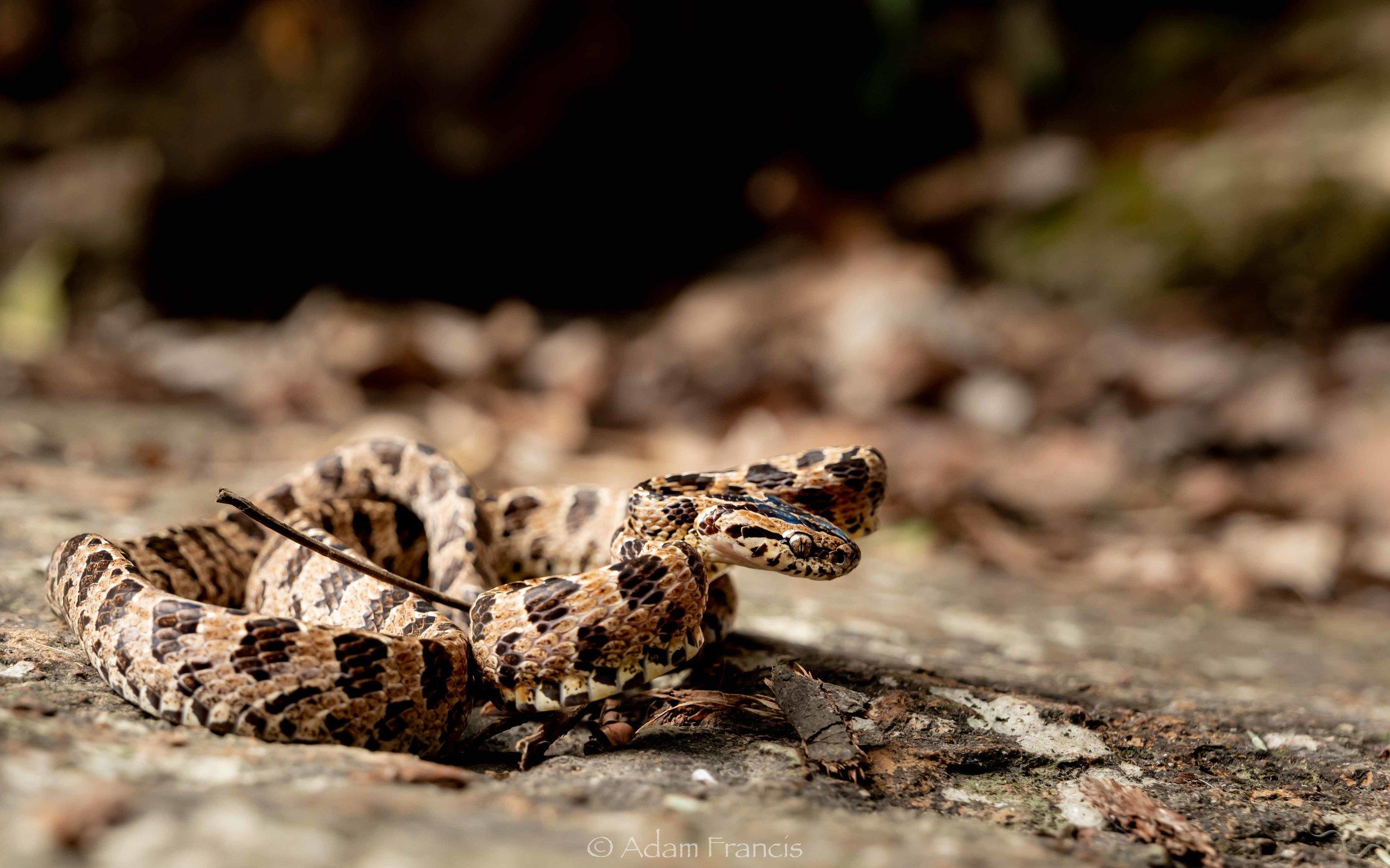 Mature Large Spotted Cat Snake - Boiga multomaculata