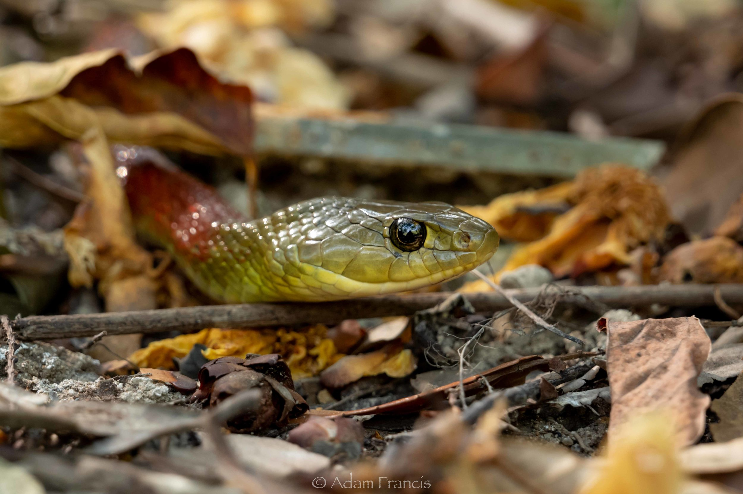 Red Neck Keelback - Rhabdophis subminiatus