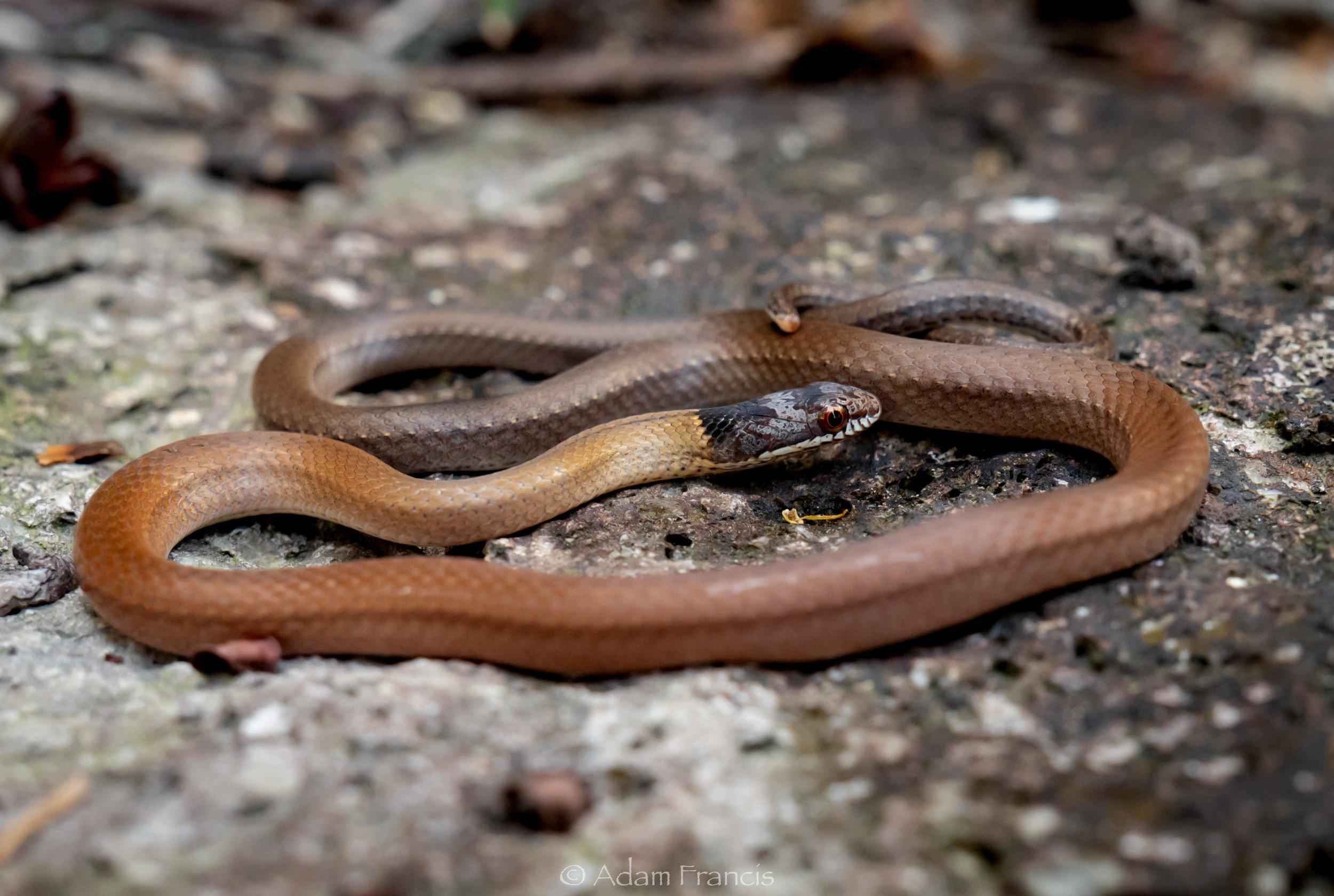 Chinese Mountain Snake - Sibynophis chinensis chinensis