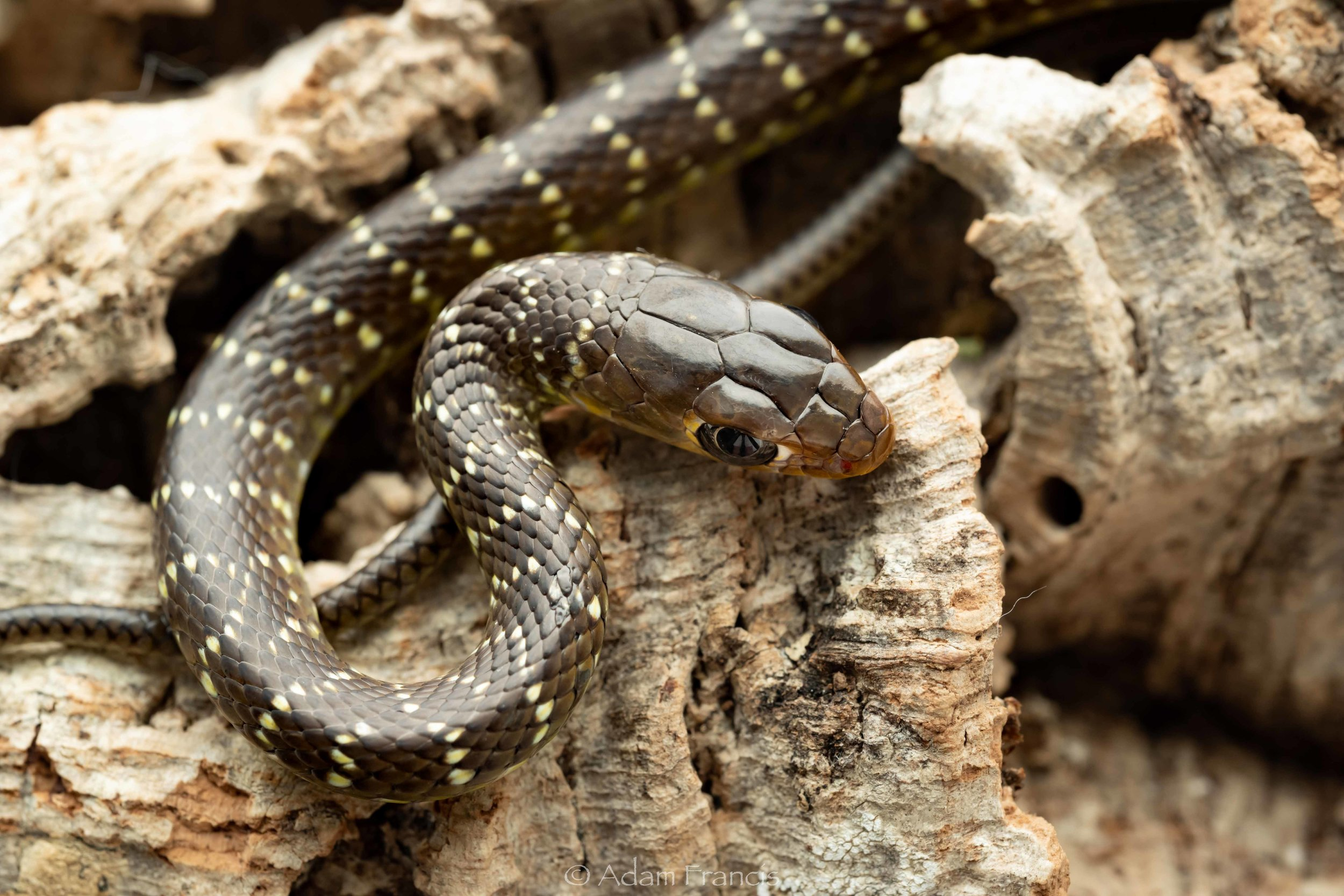 Indo Chinese Rat Snake - Ptyas korros