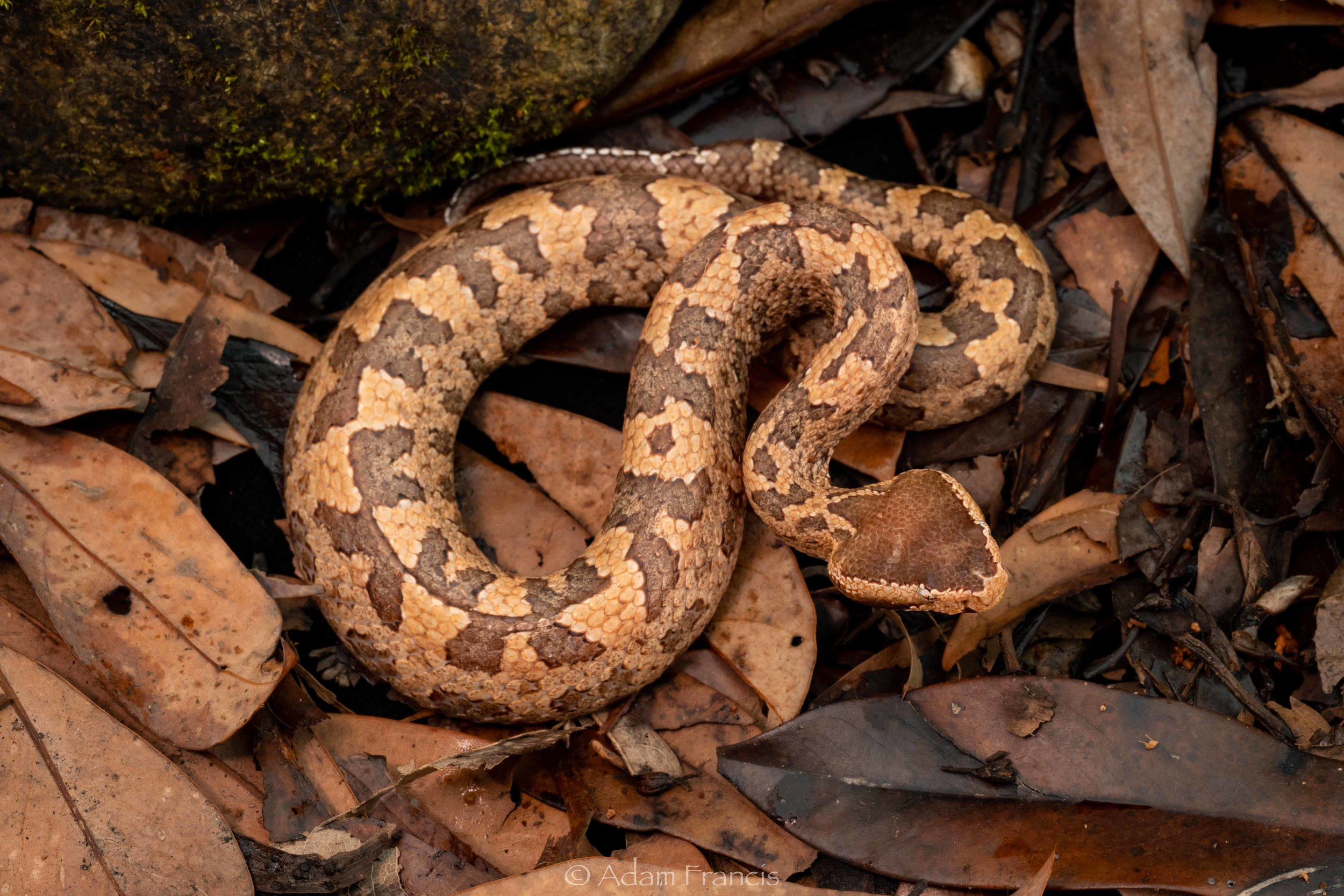 Mountain Pit Viper / Tonkin Pit Viper - Ovophis tonkinensis