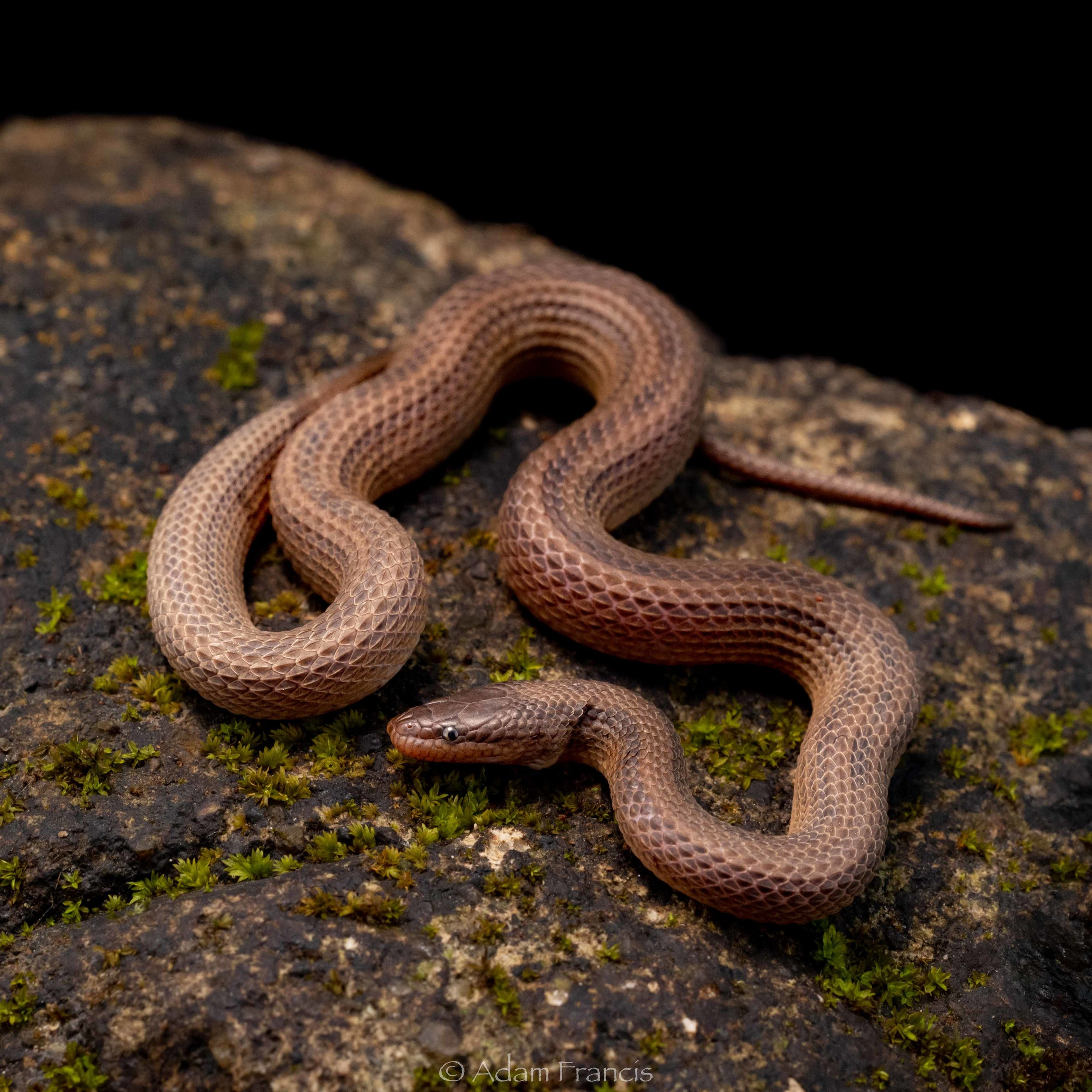 STREAM SNAKE - STRIPED