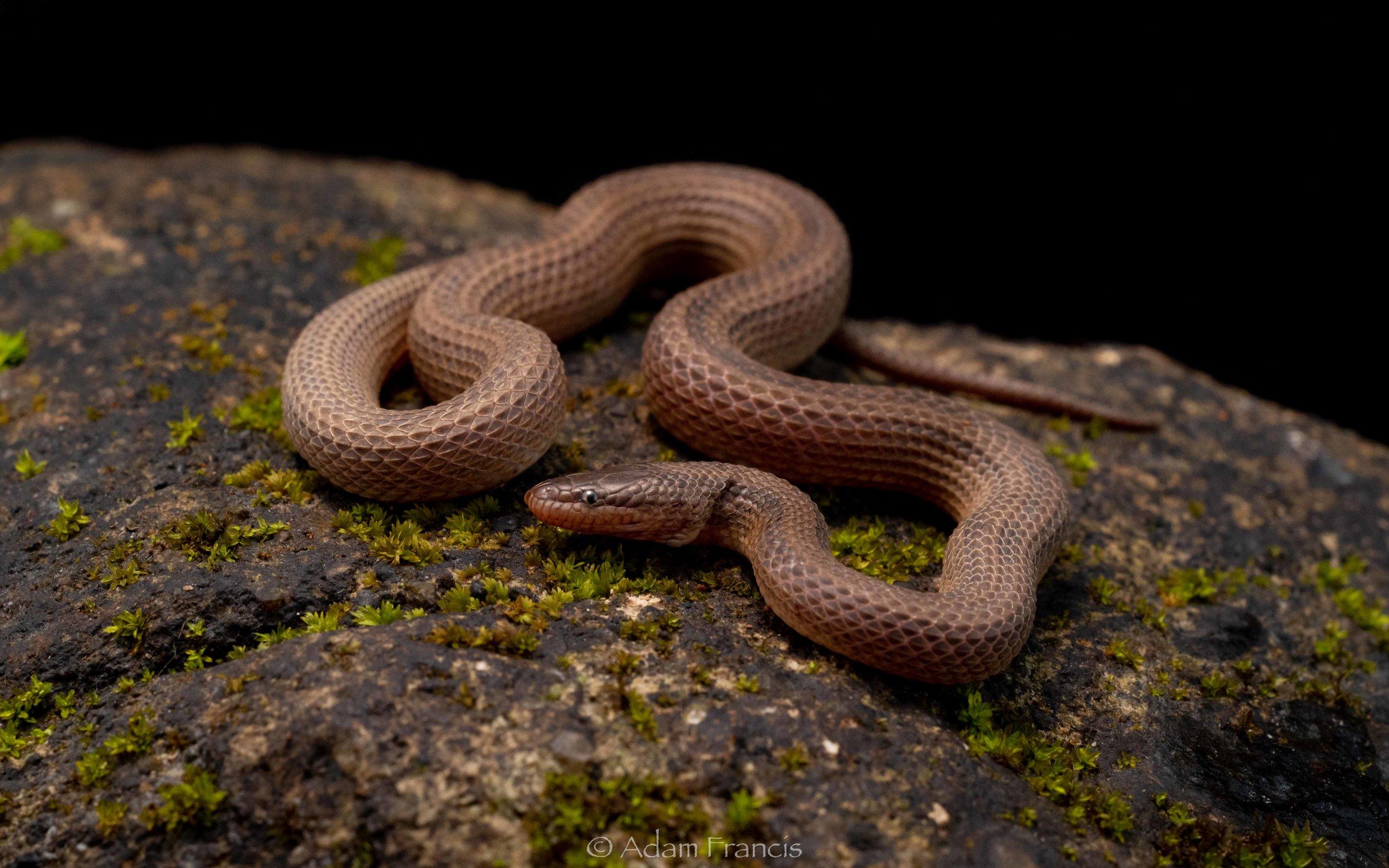 Striped Stream Snake - Opisthotropis balteata