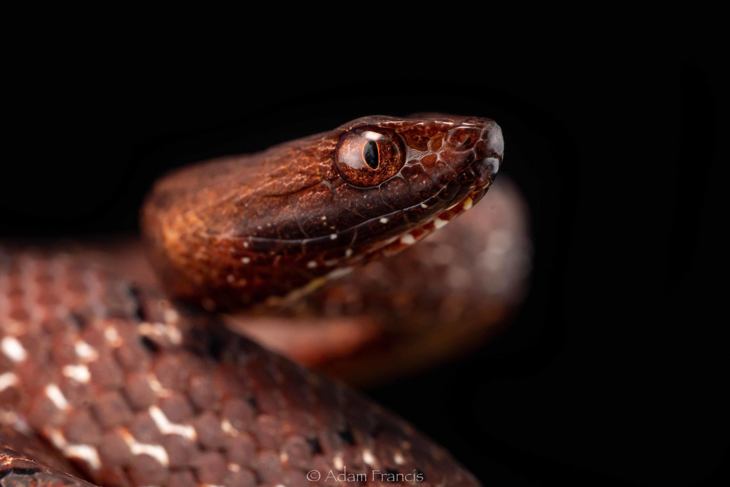 Mock Viper - Psammodynastes pulverulentus
