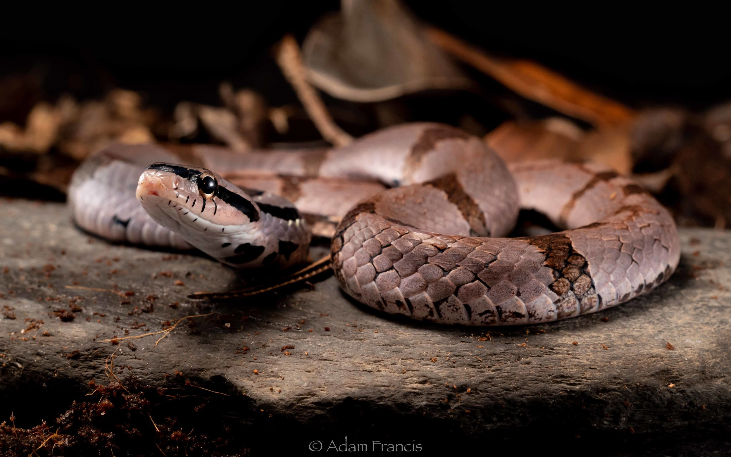 Bamboo False Cobra - Pseudoxenodon bambusicola