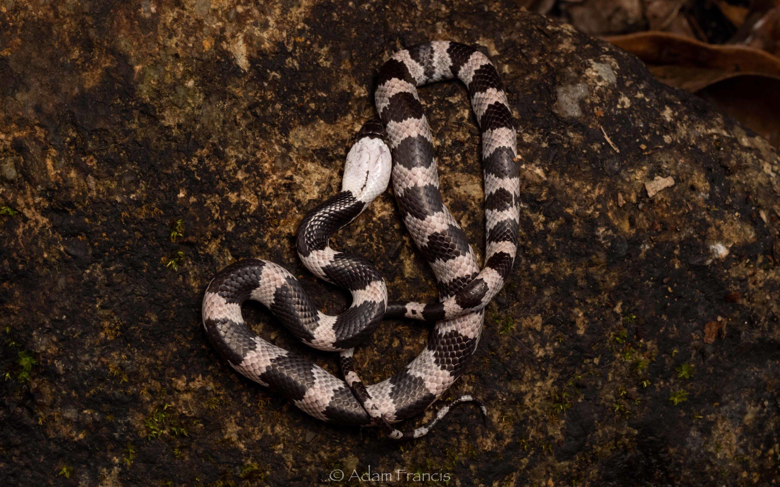 Futsings Wolf Snake - Lycodon futsingensis
