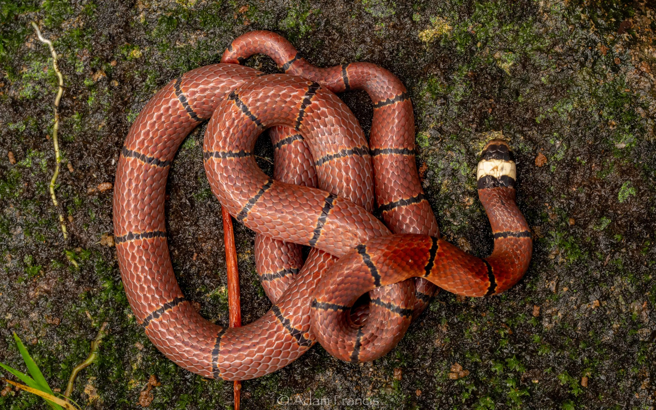 McClelland's Coral Snake - Sinomicrurus macclellandi