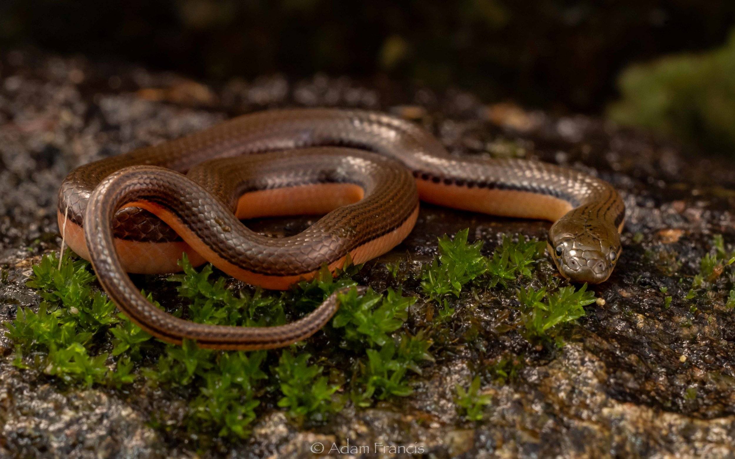 Bicoloured Stream Snake - Opisthotropis lateralis