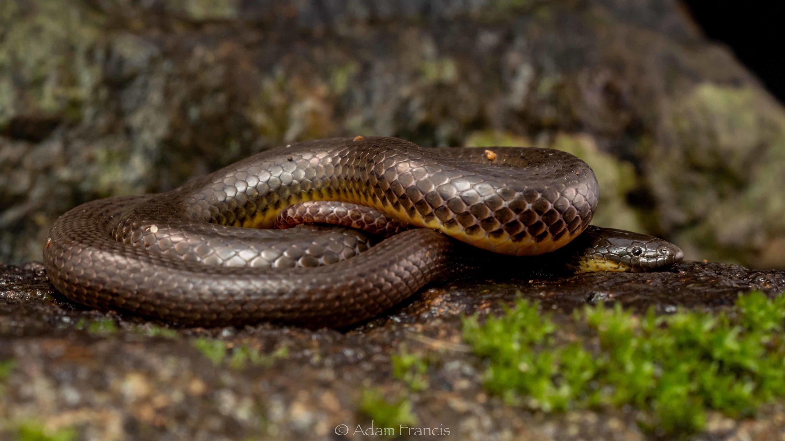Anderson's Stream Snake - Opisthotropis andersonii