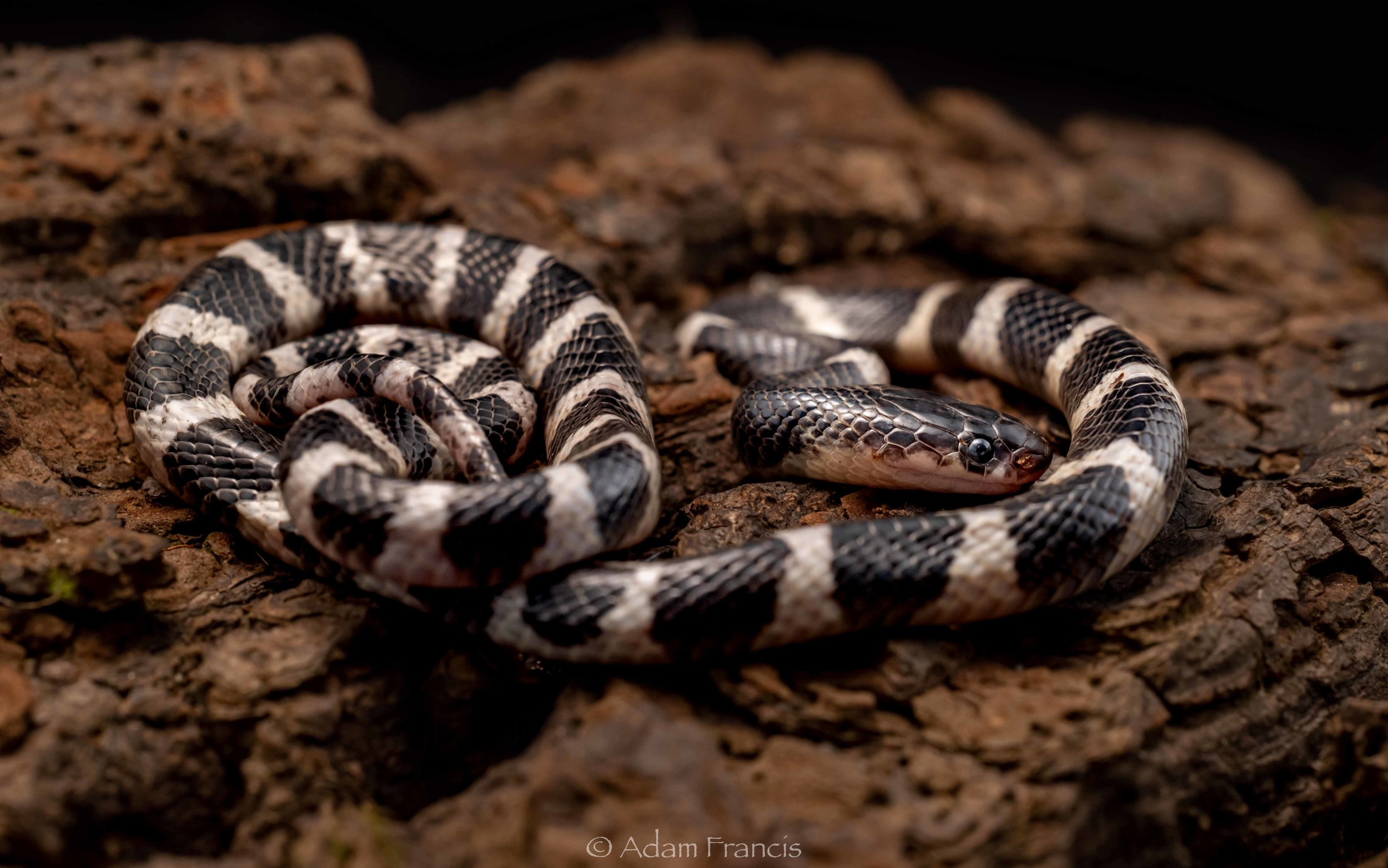 Many Banded Krait - Bungarus multicinctus