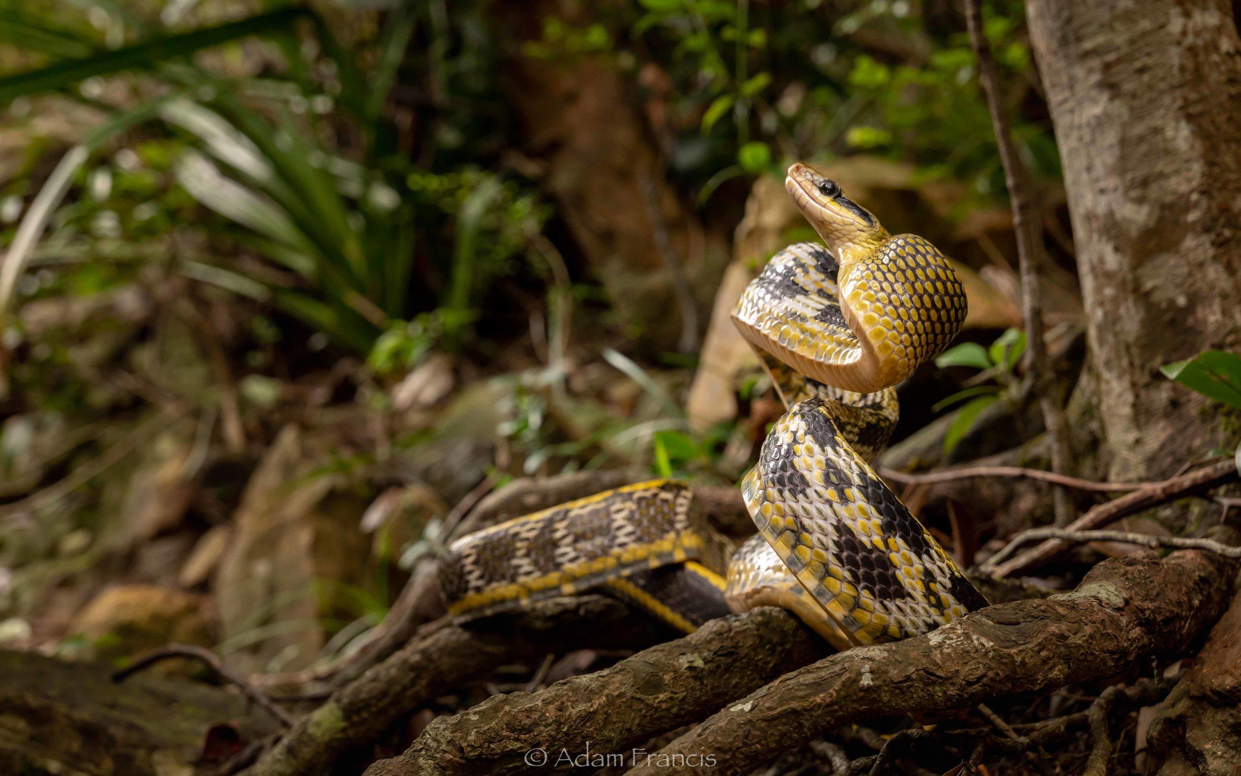 Taiwan Beauty Snake - Orthriophis taeniurus