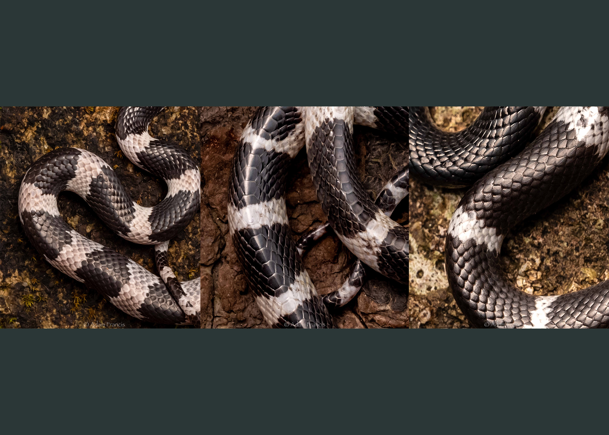 From left to right: Futsing's Wolf Snake, Many Banded Krait, Banded Wolf Snake