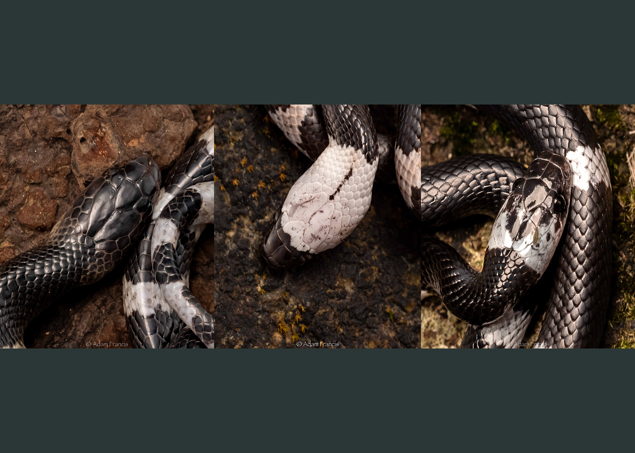 From left to right: Many Banded Krait, Futsing's Wolf Snake, Banded Wolf Snake