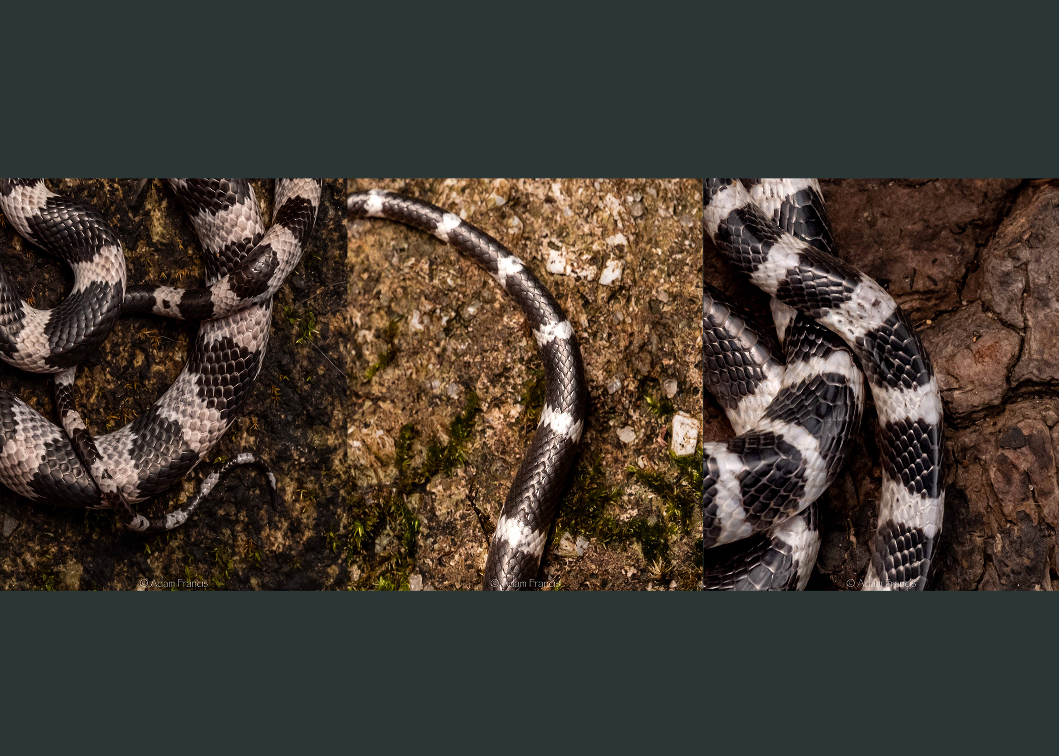 From left to right: Futsing's Wolf Snake, Banded Wolf Snake, Many Banded Krait