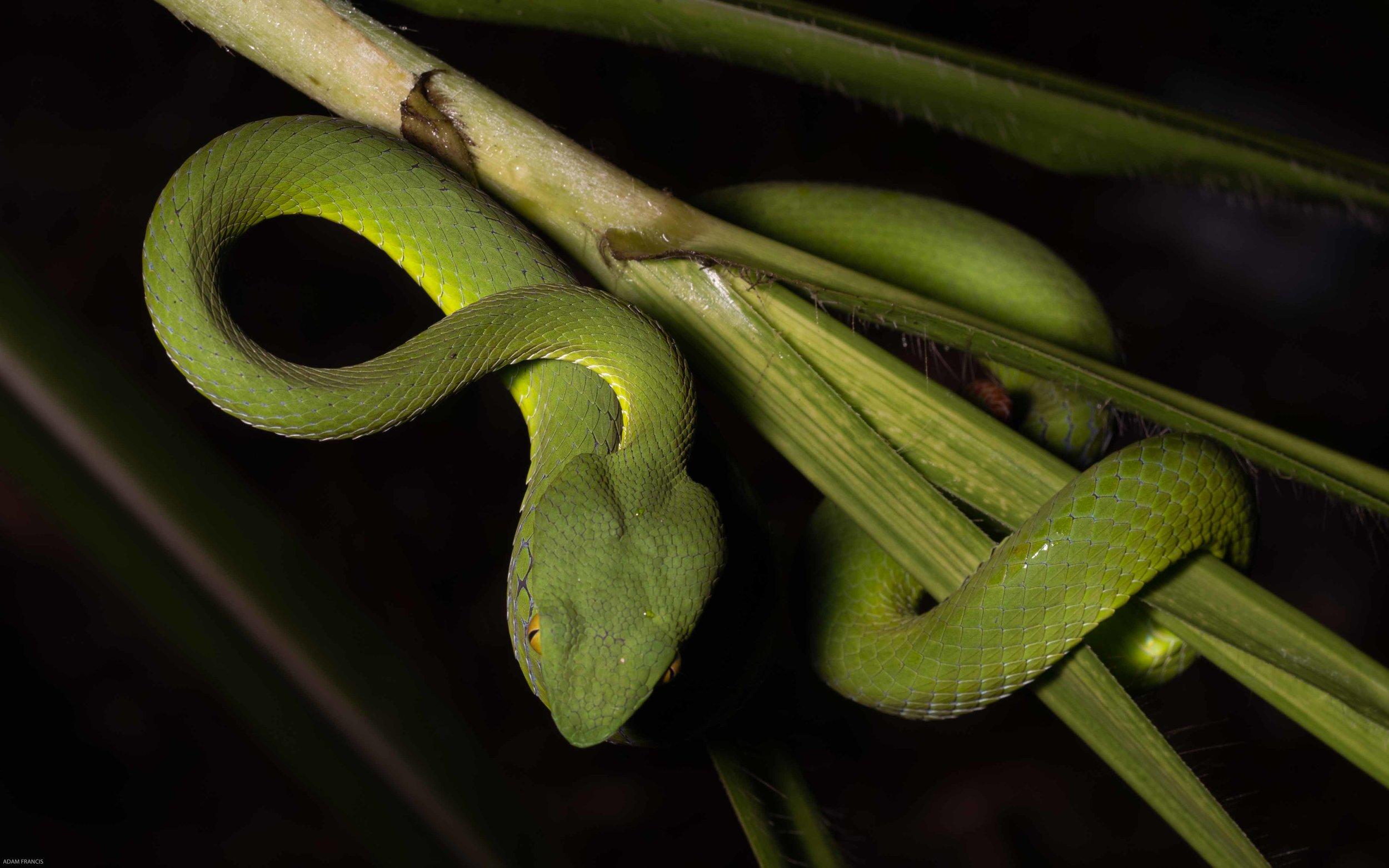 Siamese Peninsular Pit Viper - Trimeresurus fucatus