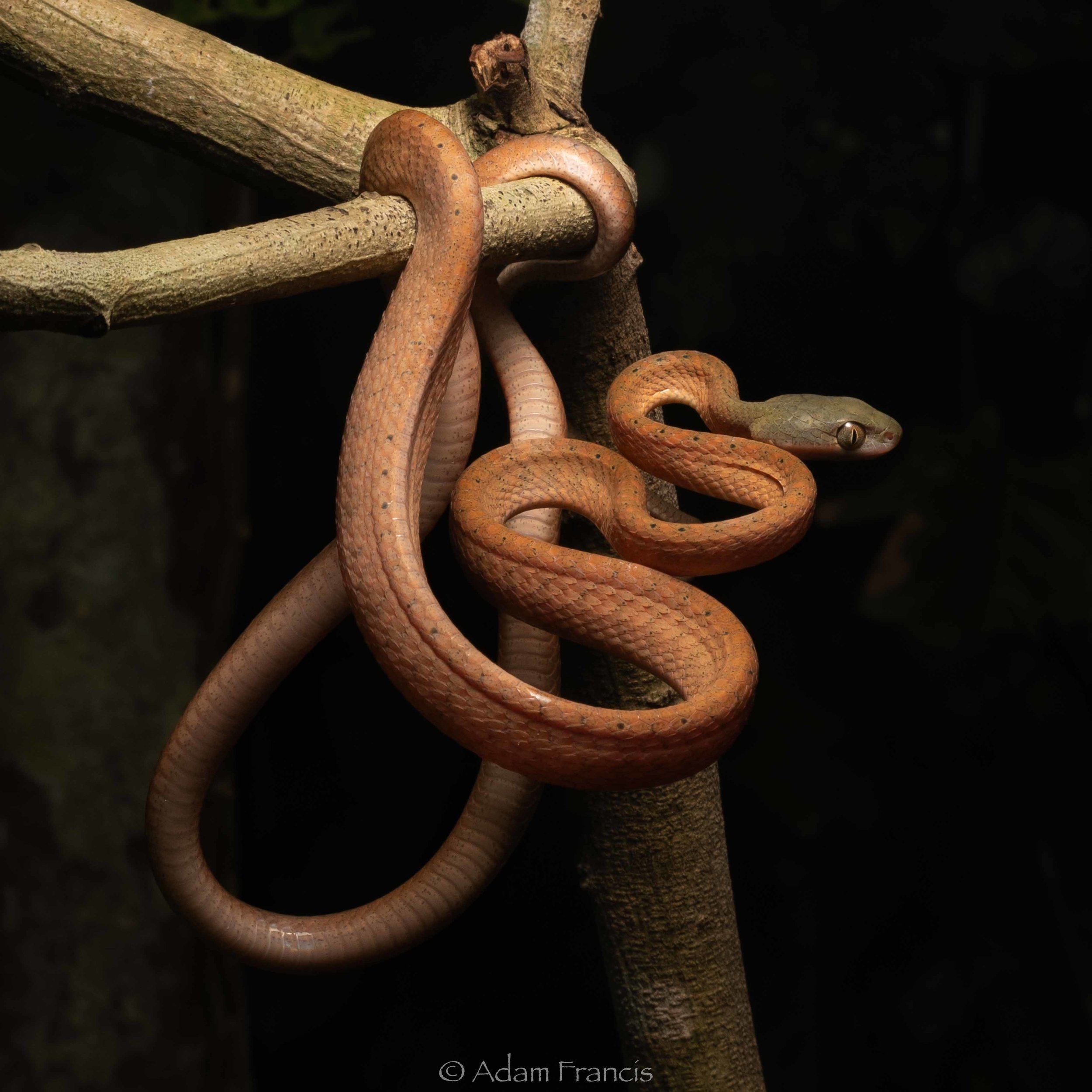 BLACK HEADED CAT SNAKE