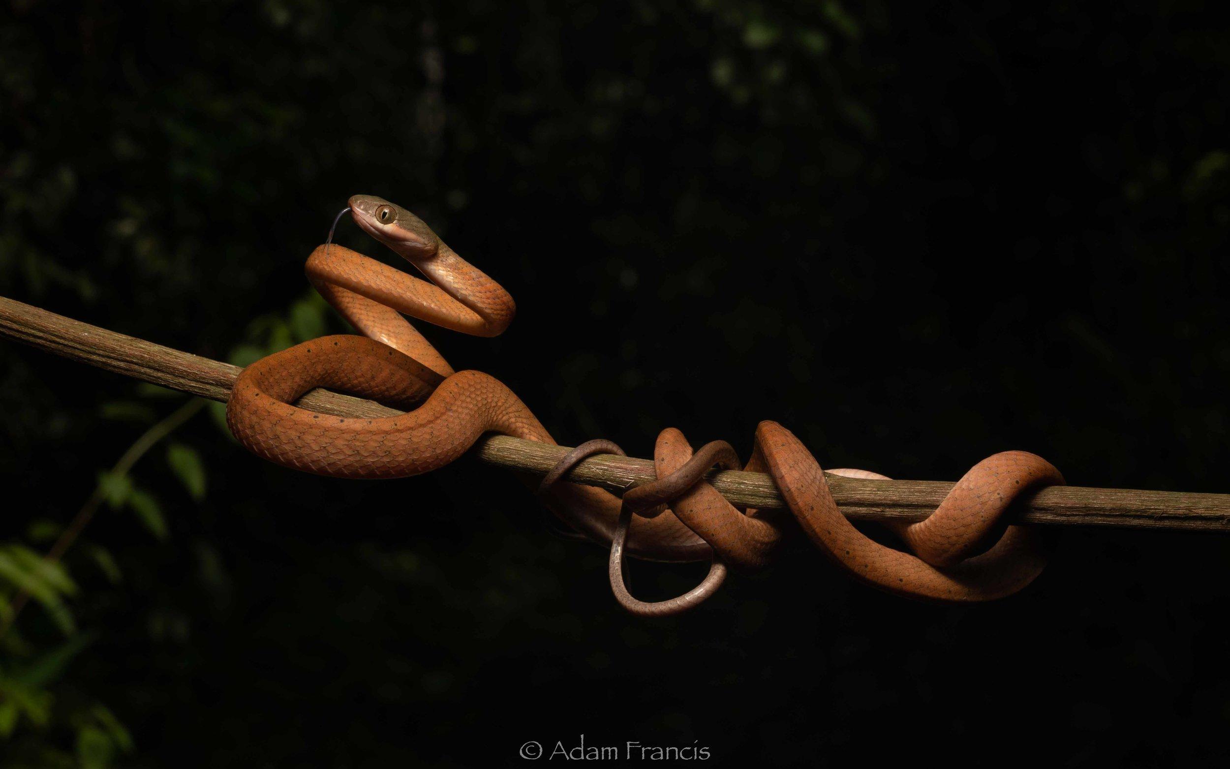 Black Headed Cat Snake - Boiga nigriceps