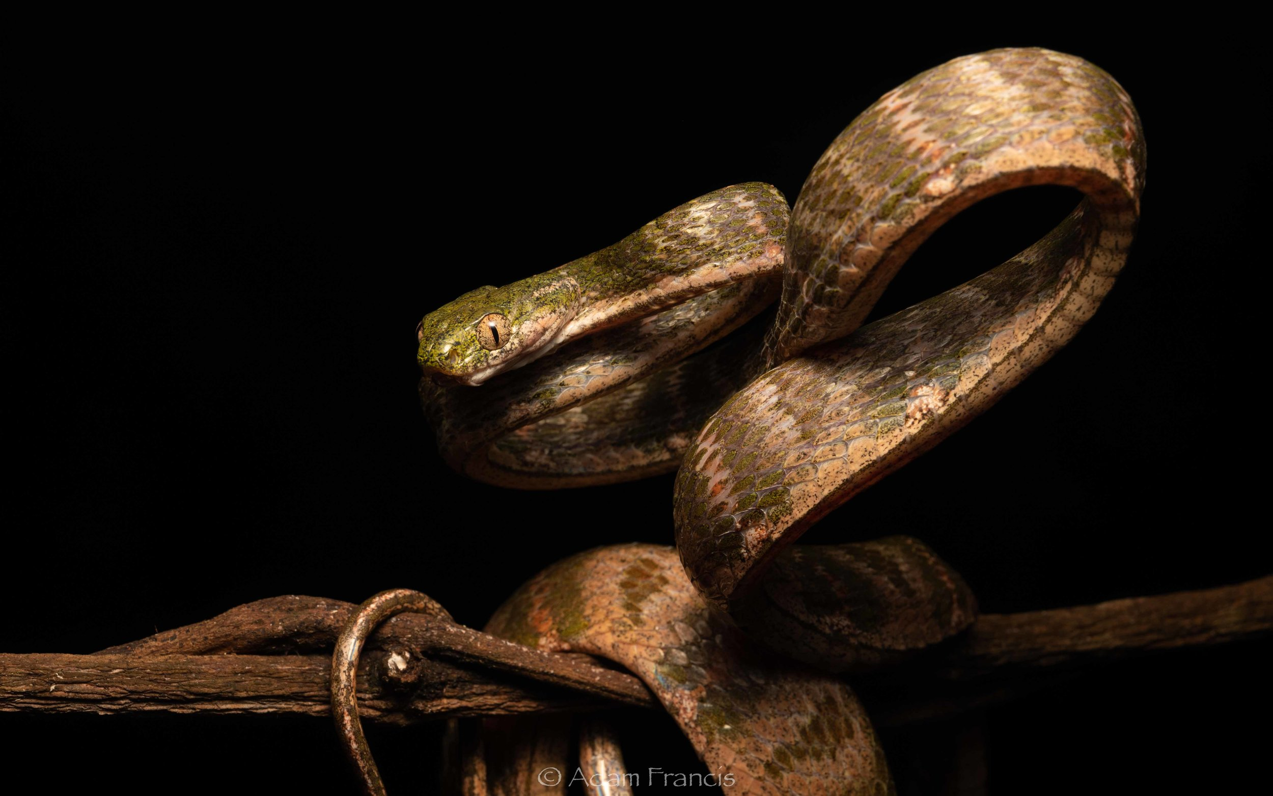 White-Spotted Cat Snake - Boiga drapiezii