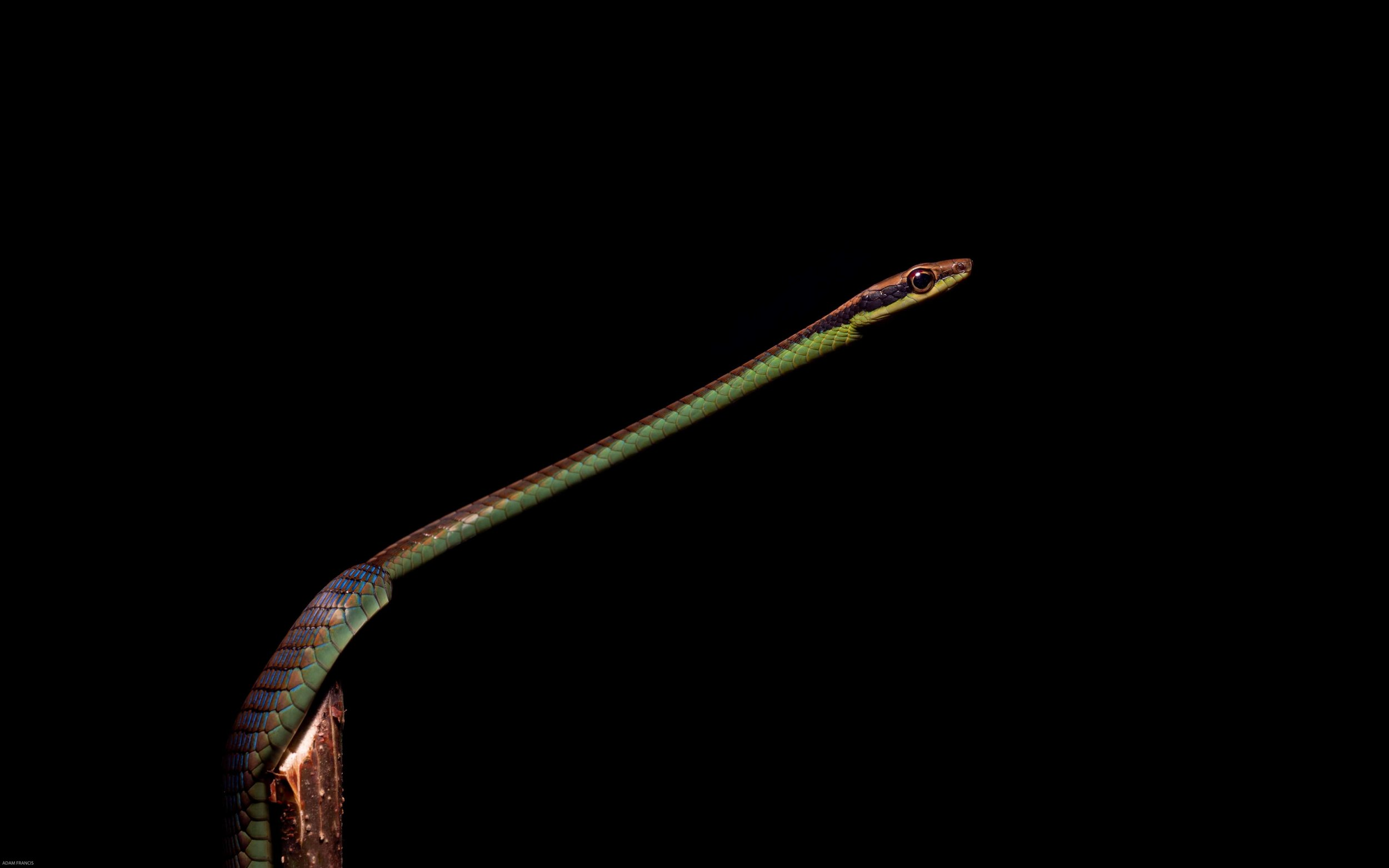 Wall's Bronzeback - Dendrelaphis cyanochloris