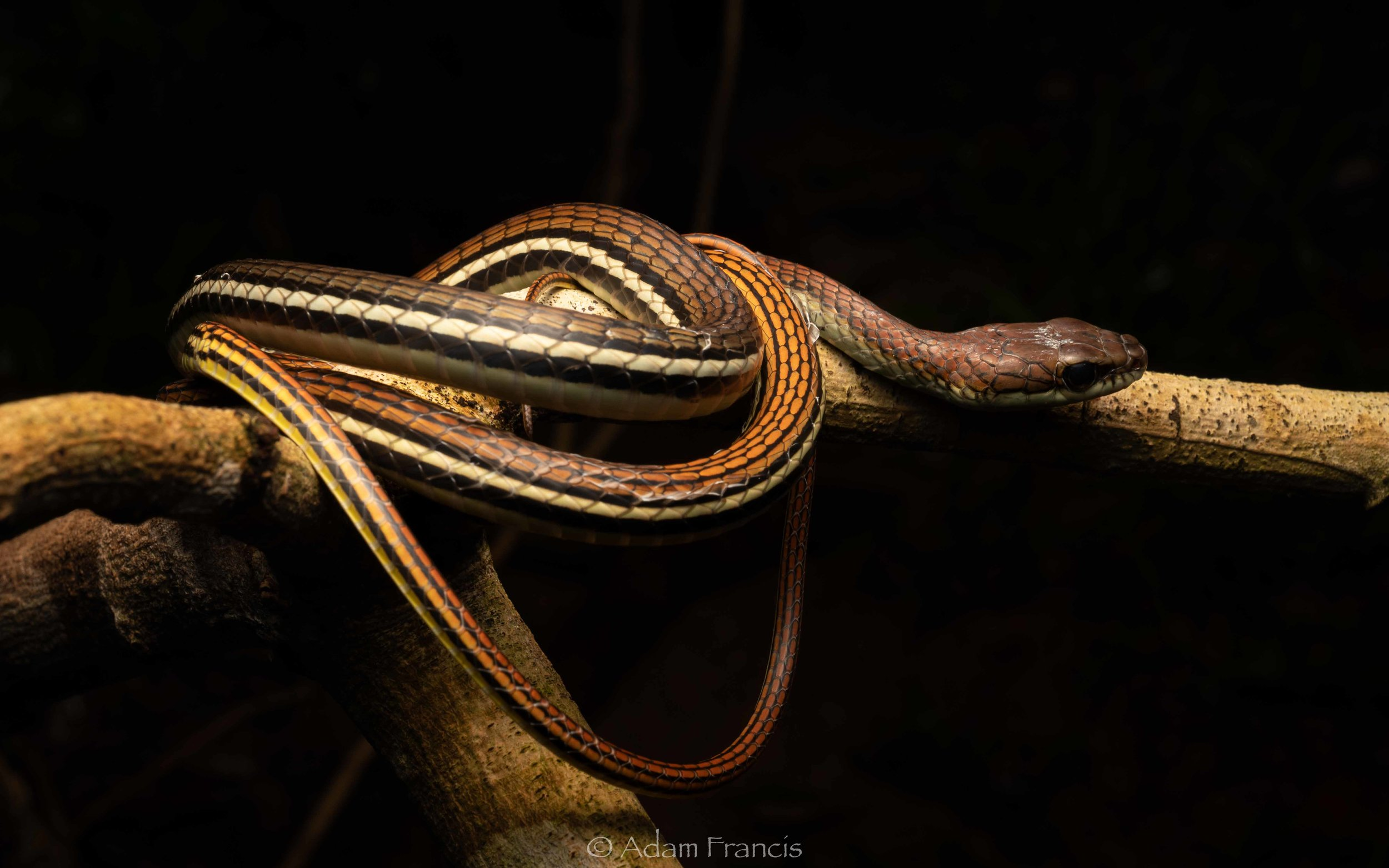 Striped Bronzeback - Dendrelaphis caudolineatus