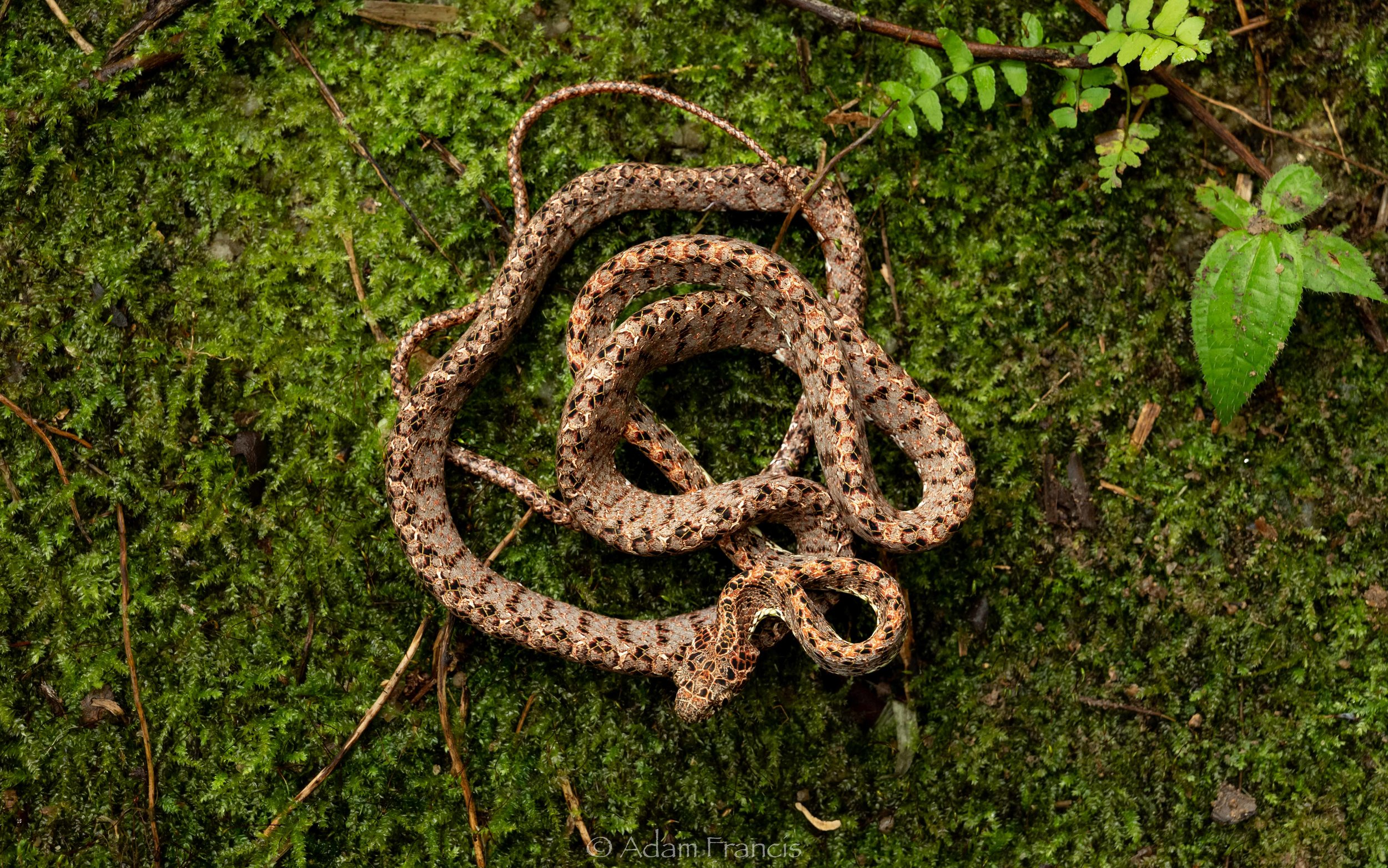 Jasper Cat Snake - Boiga jaspidea