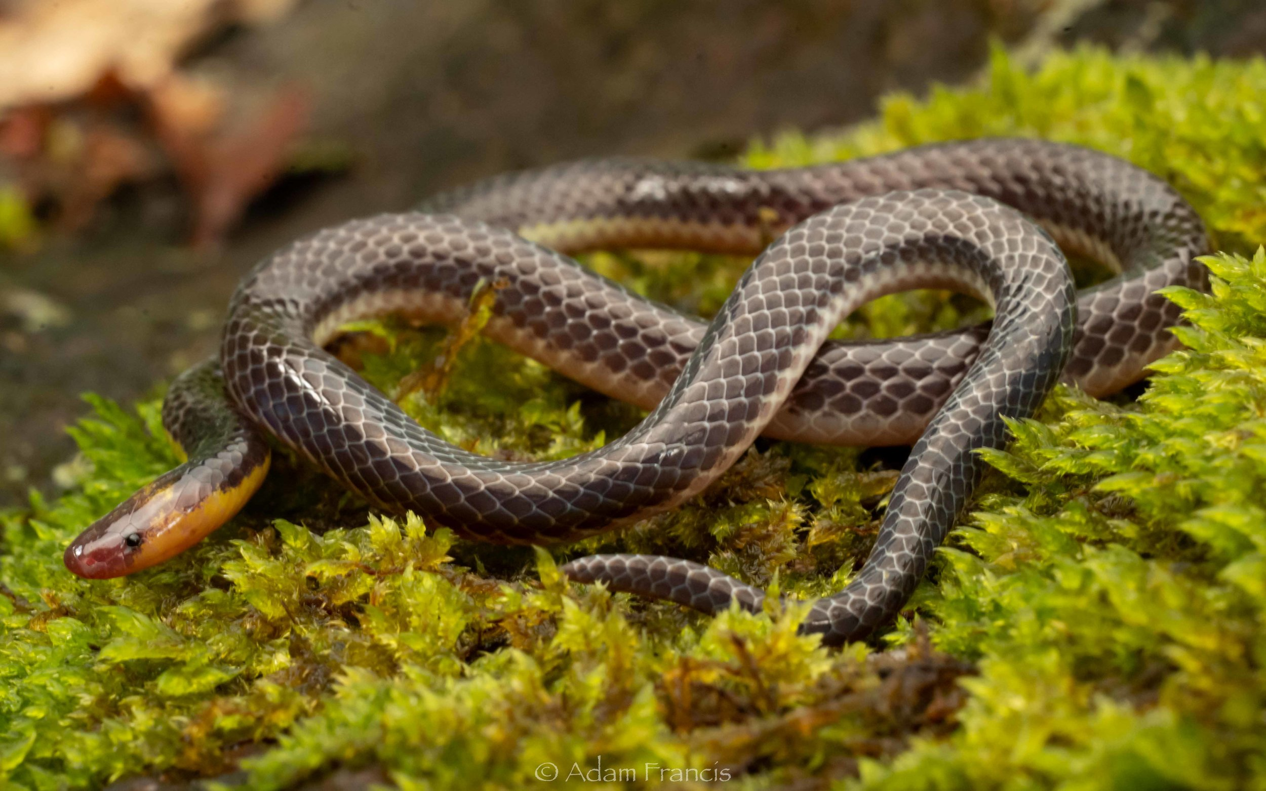 Pink-Headed Reed Snake - Calamaria schlegeli-7.jpg