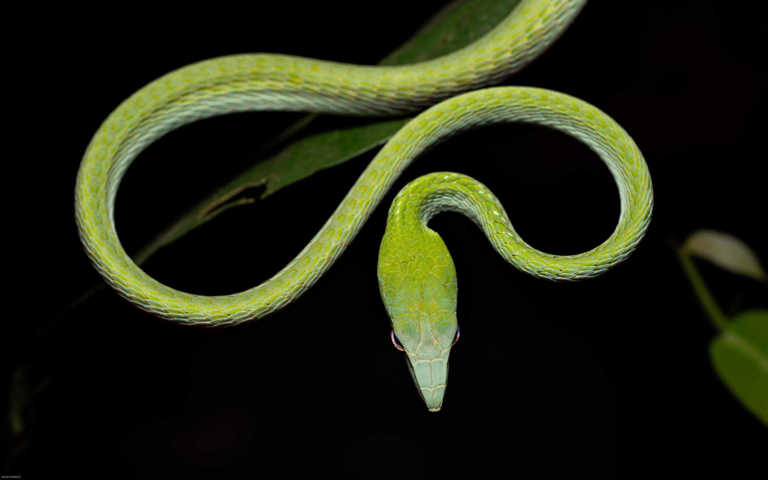 Asian Vine Snake - Ahaetulla prasina
