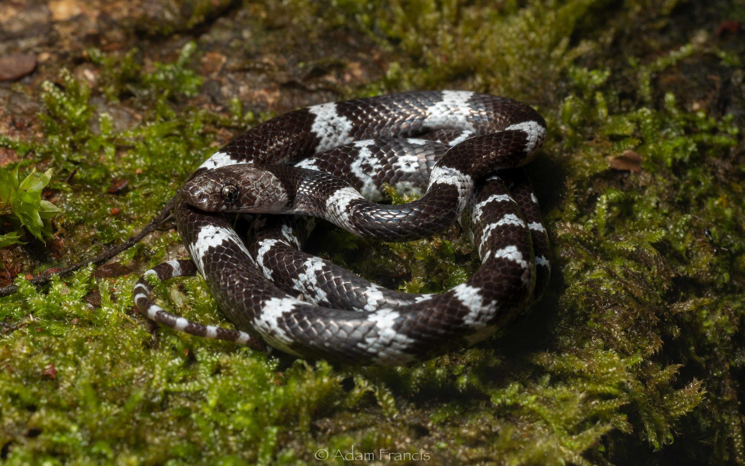 Butler's Wolf Snake - Lycodon butleri