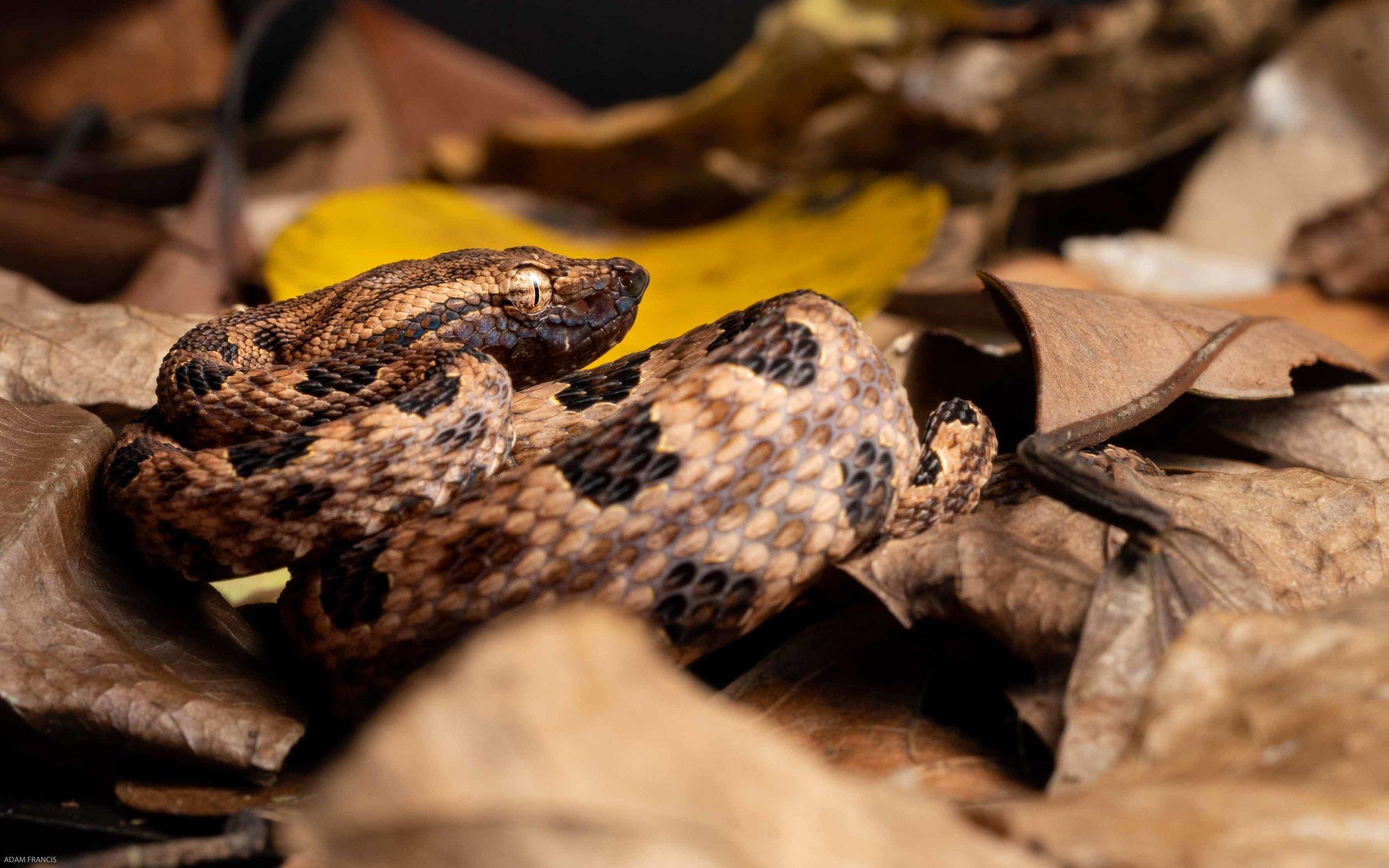 Pointed Scale Viper a.k.a. Habu - Protobothrops mucrosquamatus