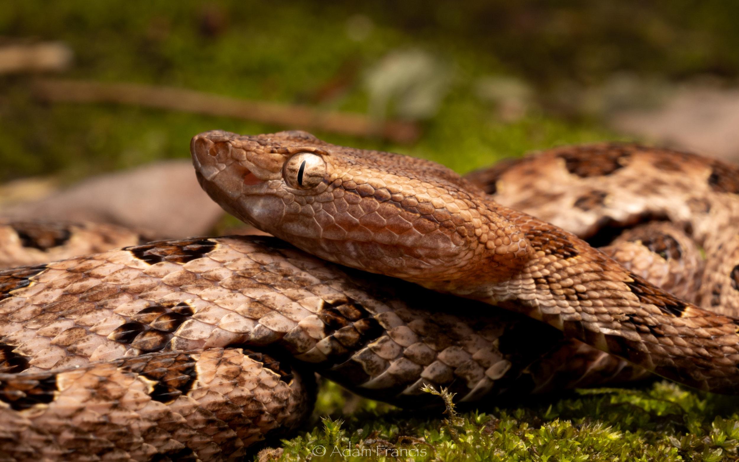 Pointed Scale Viper - Habu - Protobothrops mucrosquamatus-19.jpg