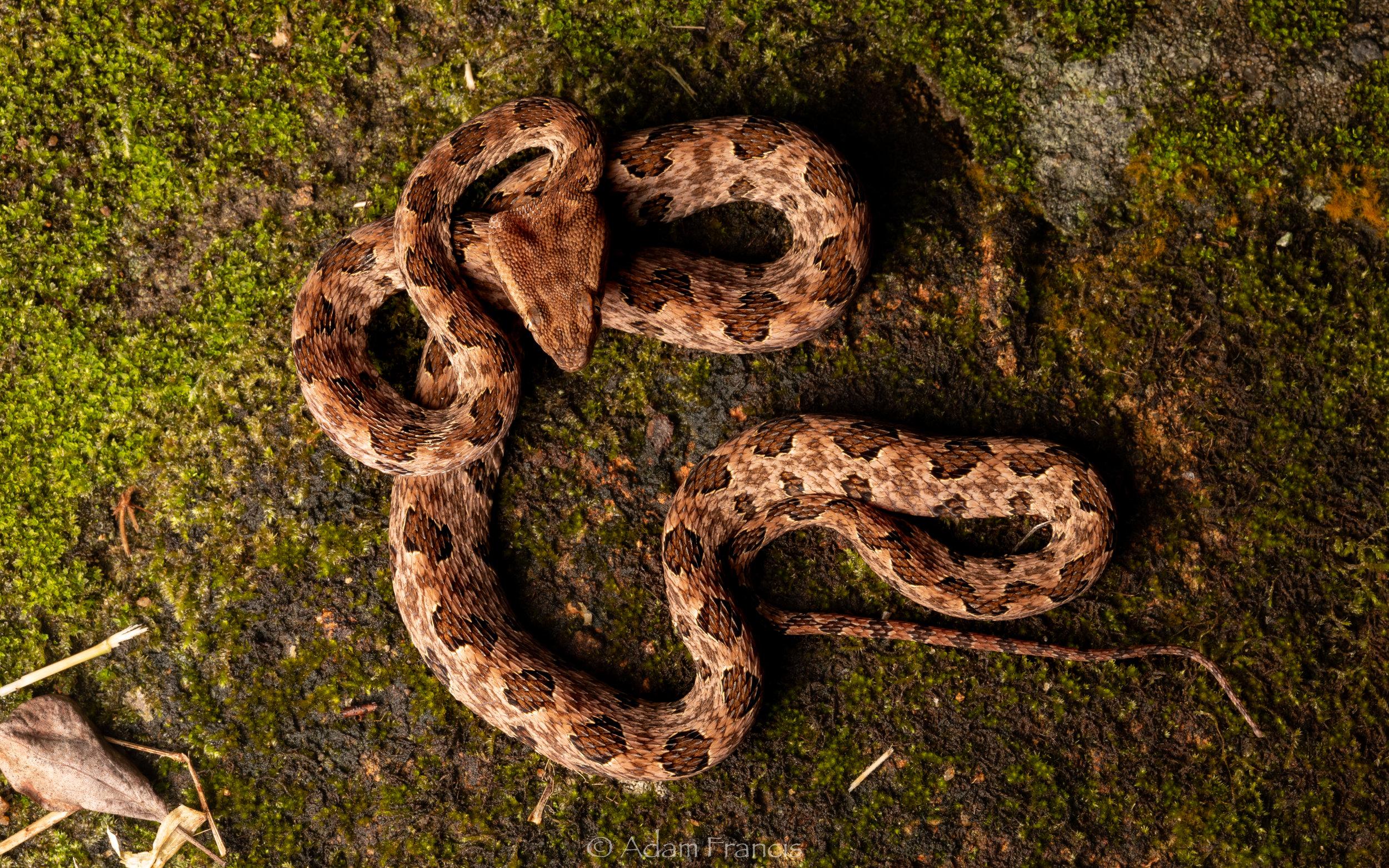 Pointed Scale Viper - Habu - Protobothrops mucrosquamatus-13.jpg
