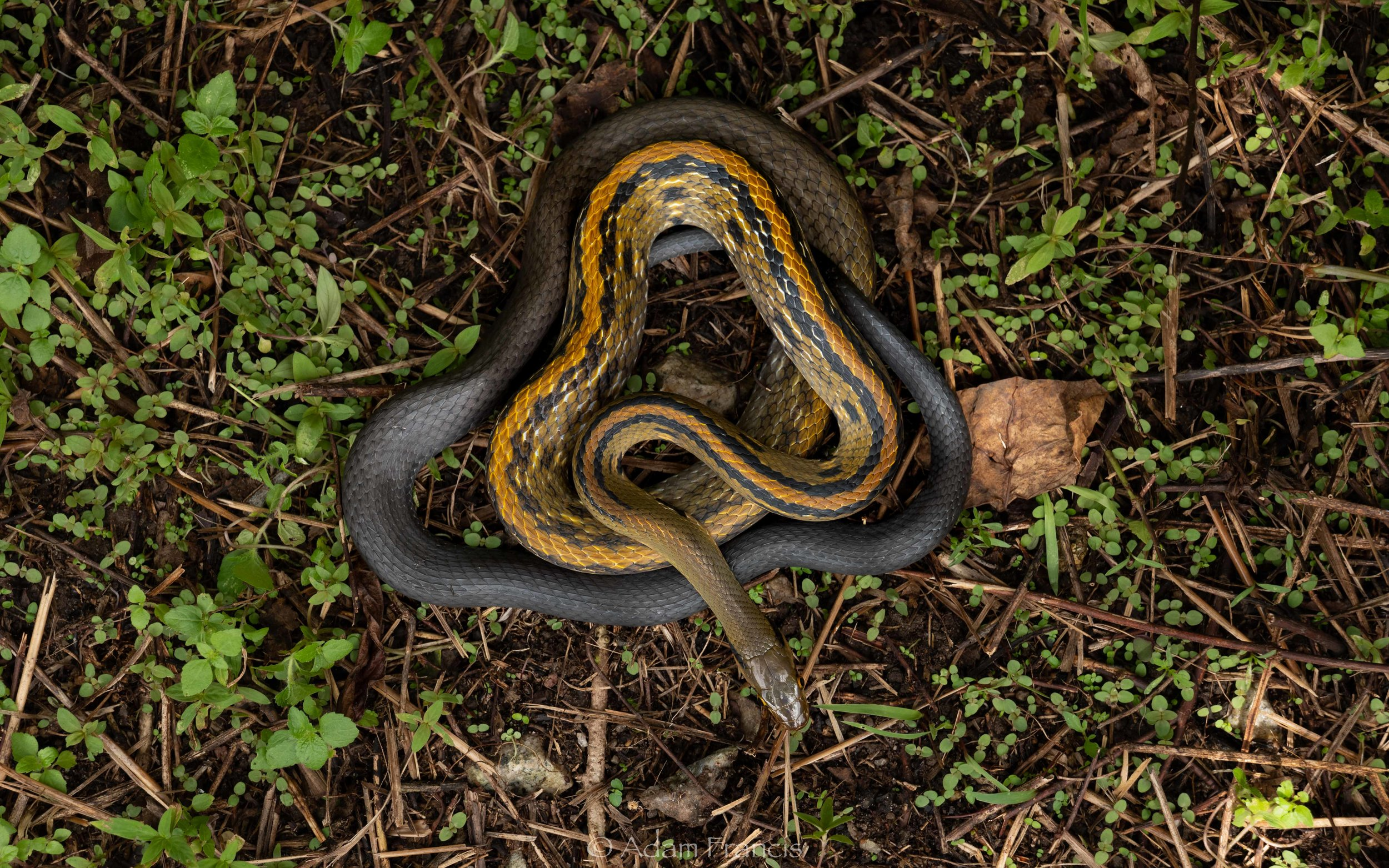 Yellow Striped Trinket Snake - Coelognathus flavolineatus
