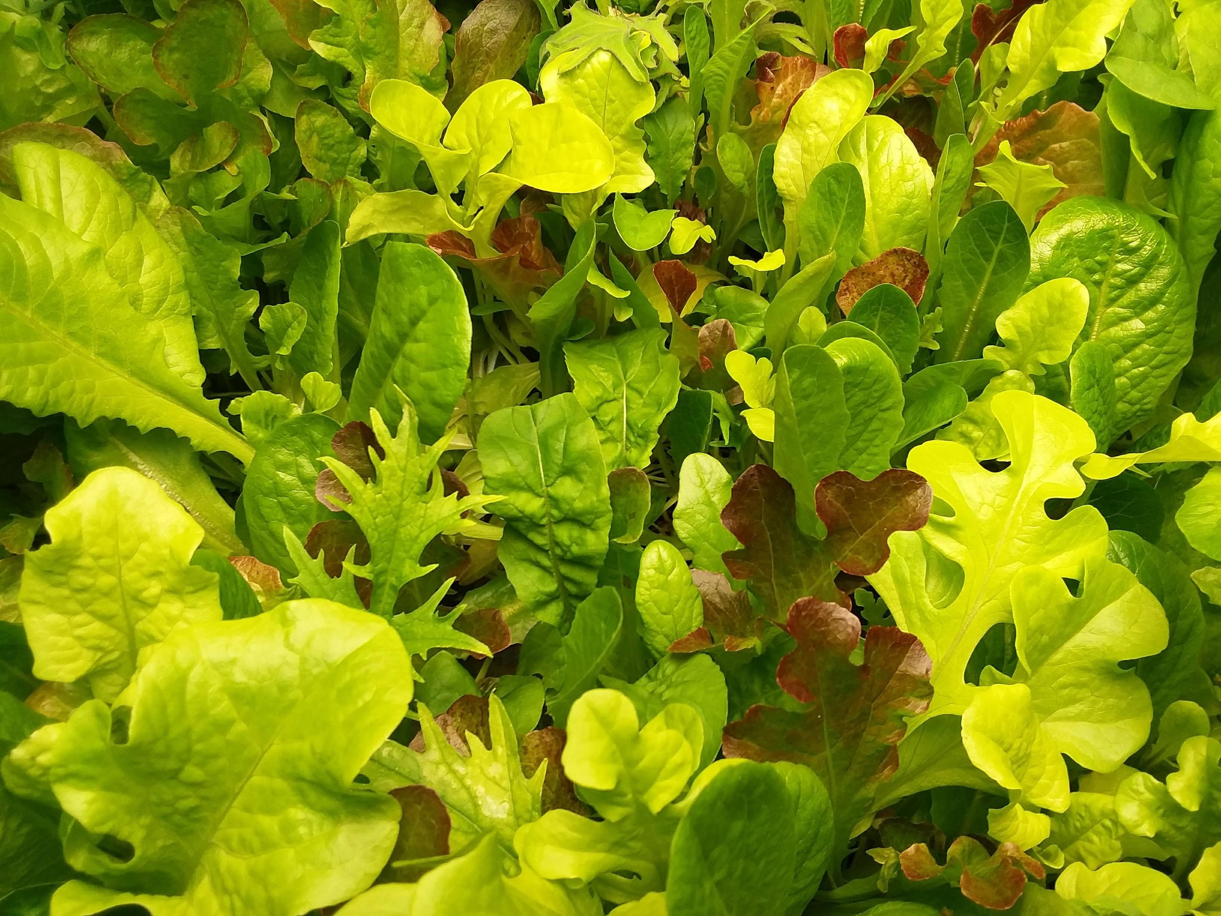 LETTUCE AND MICROGREENS -