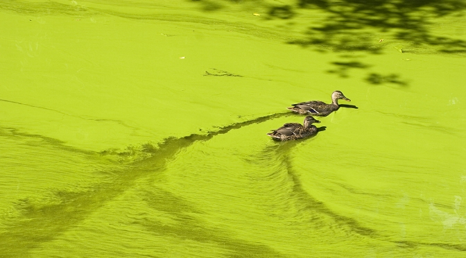 increase in algae blooms -