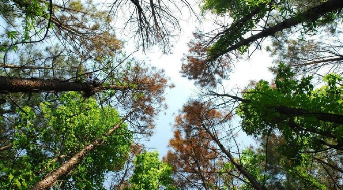 incoming southern pine beetle invasion -