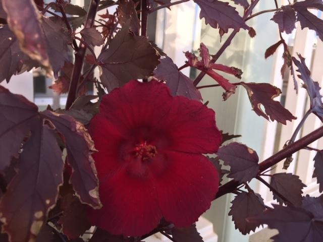 Red Hibiscus.jpg