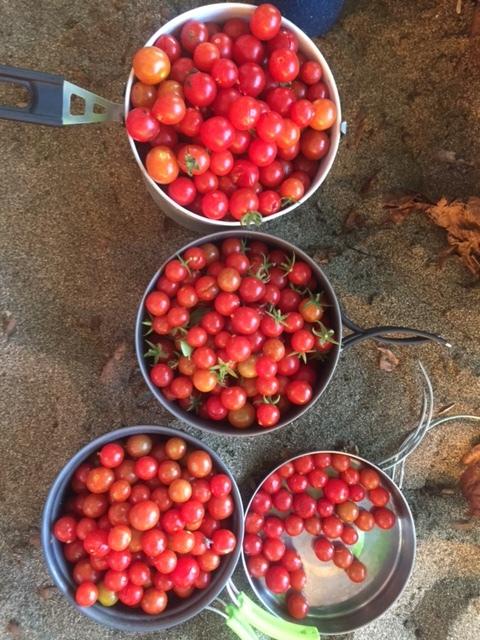 Cherry tomatoes in Kauai