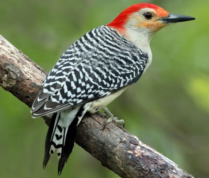 Red Bellied Woodpecker.JPG