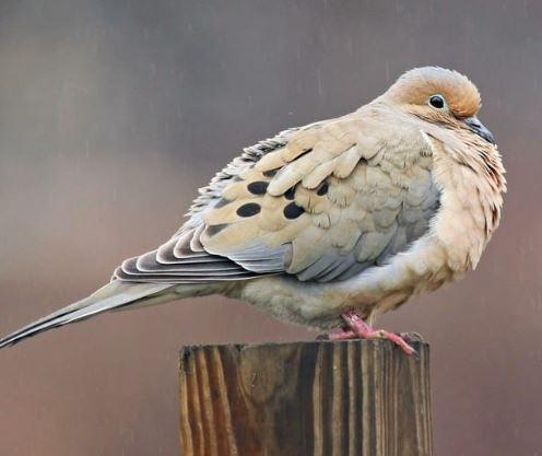 Mourning Dove.JPG