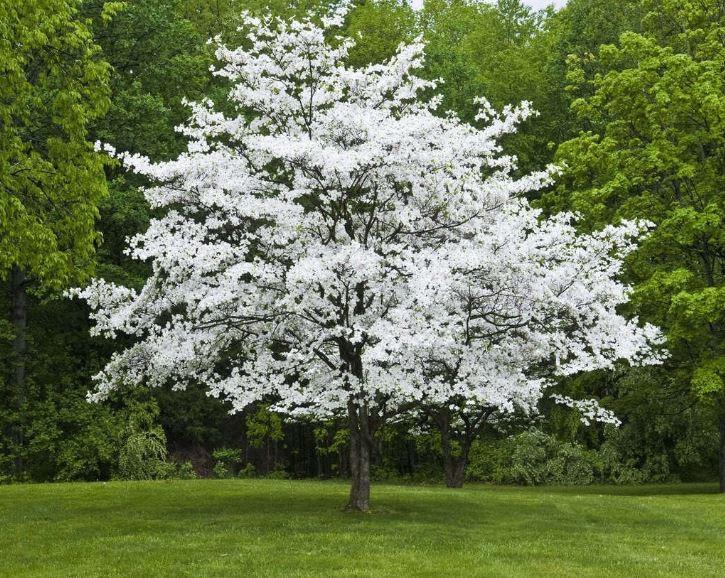 White Dogwood.JPG