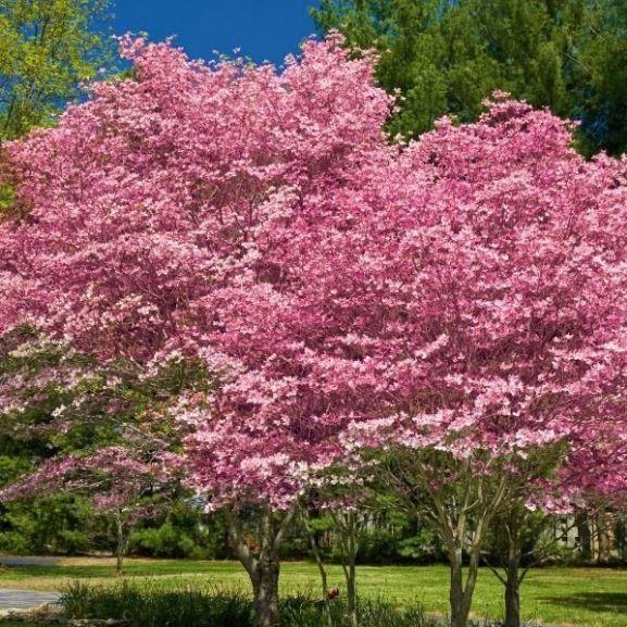 Pink Dogwood.JPG